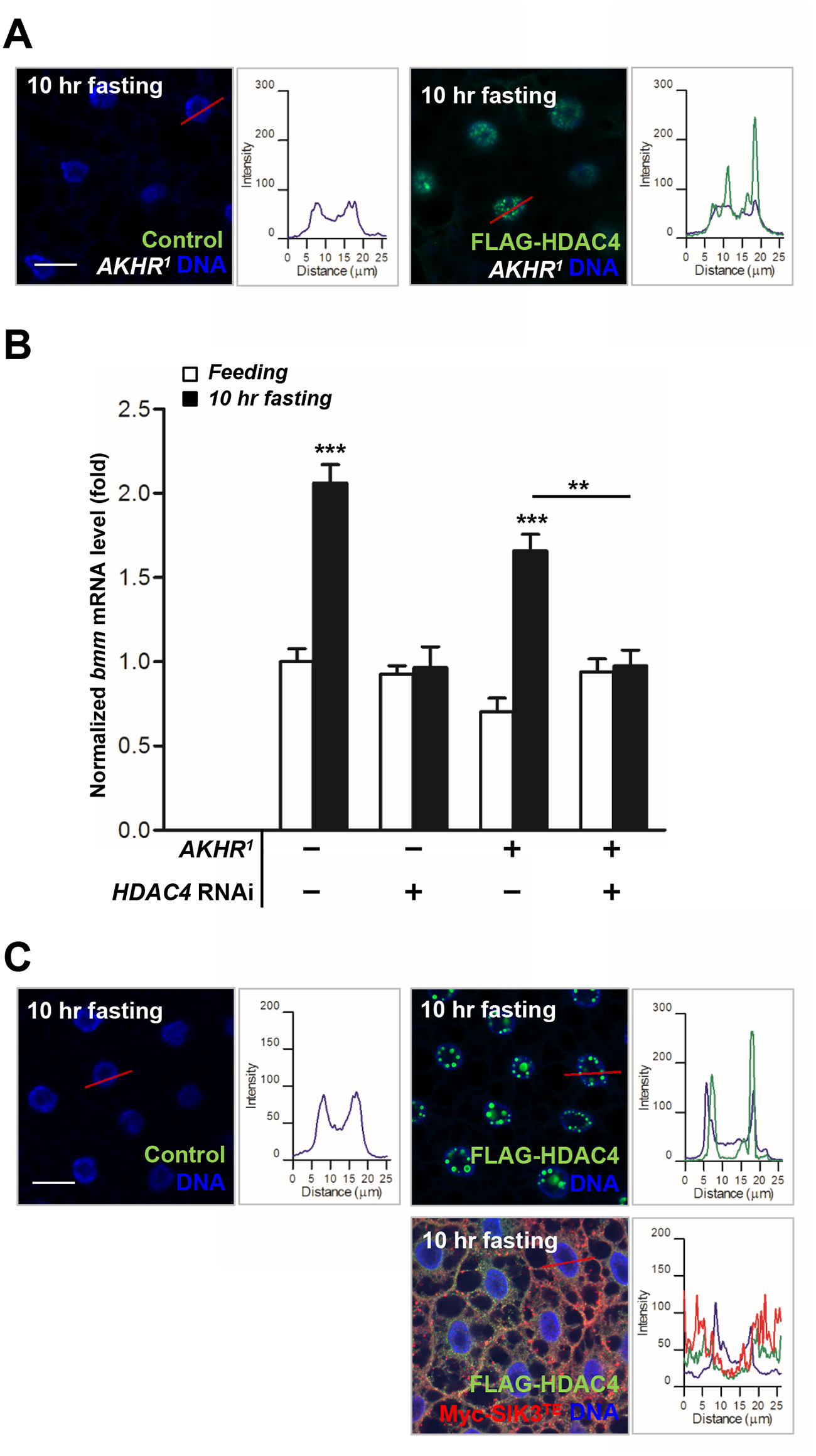HDAC4 accumulated in the nuclei of the fat body cells in AKHR mutants under prolonged fasting.