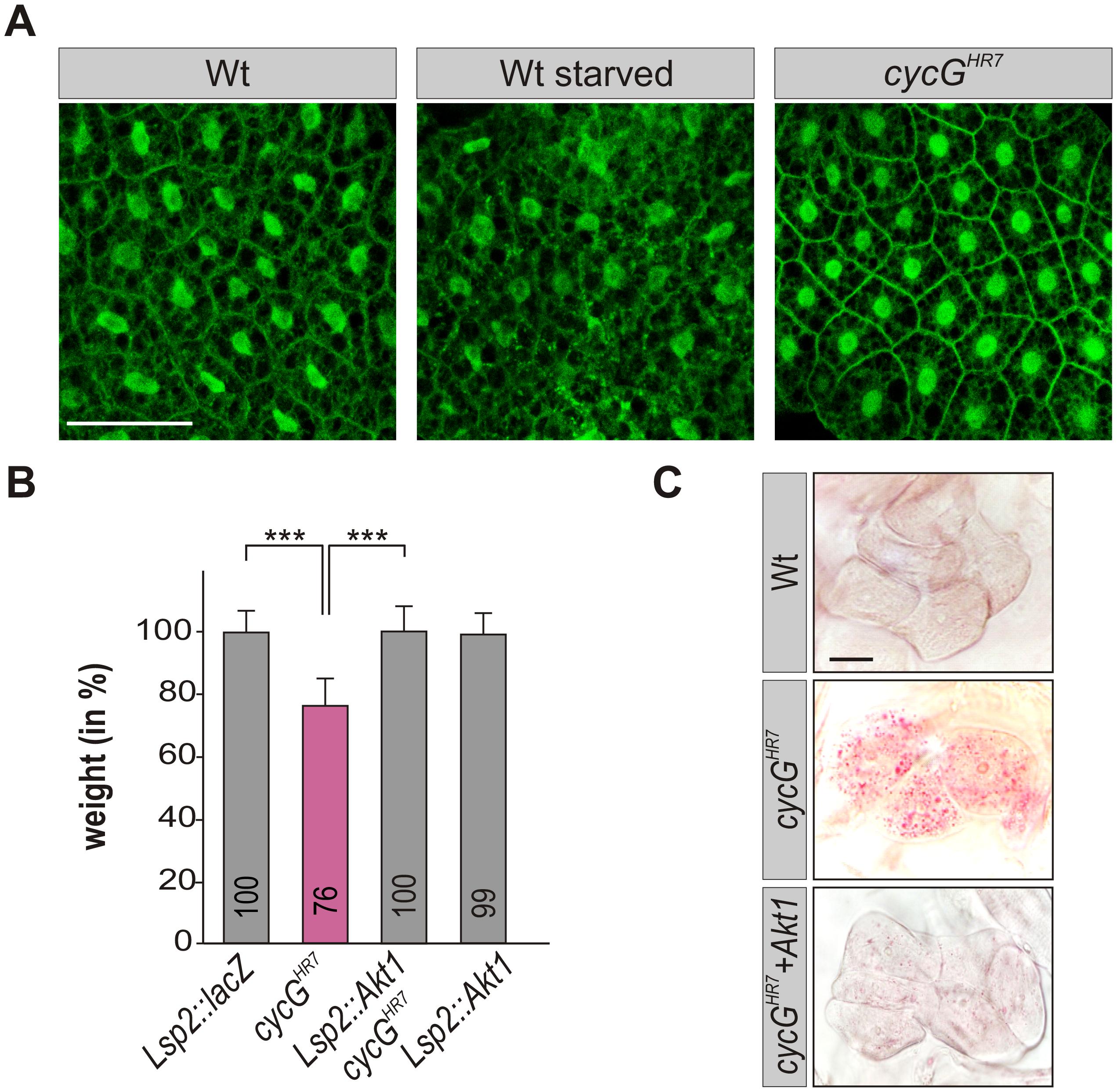 <i>CycG</i> acts genetically downstream of PI3K92E.