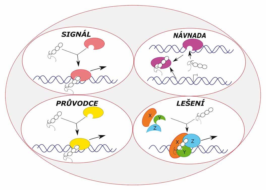 """Typy molekulárních mechanizmů lncRNA – tzv. funkční """"archetypy"""" – signál, návnada, průvodce a lešení."""