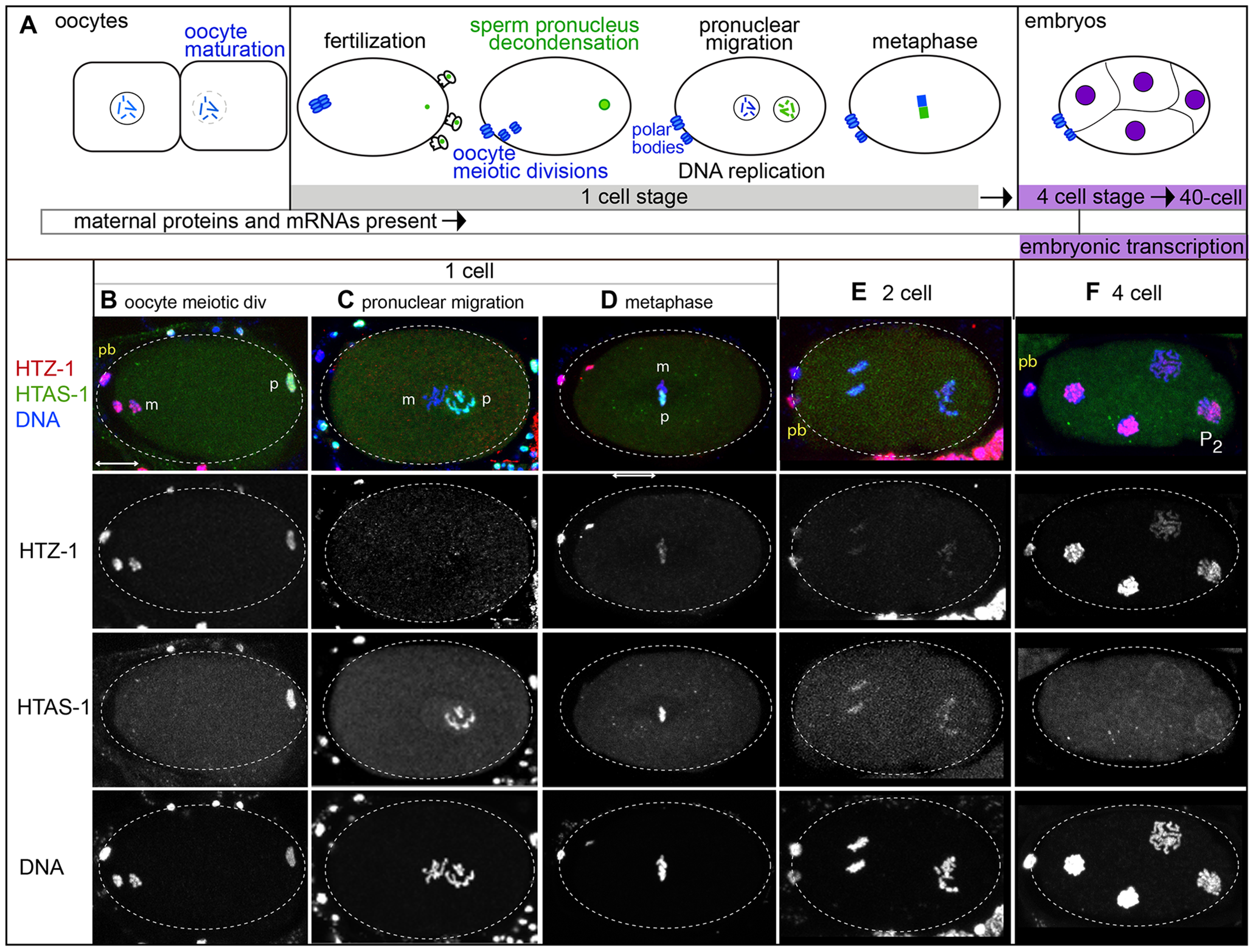 Histone H2A variants have different fates in the new embryo.