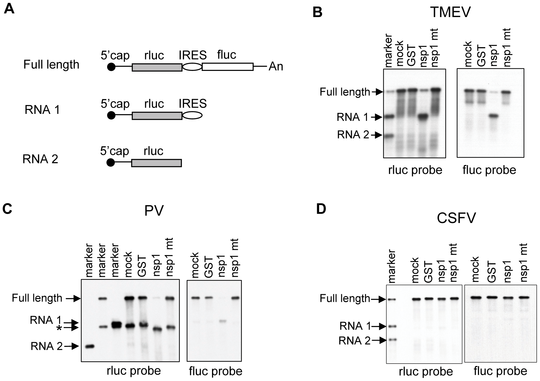 Susceptibilities of IRES-containing dicistronic RNAs to nsp1-mediated RNA cleavage.