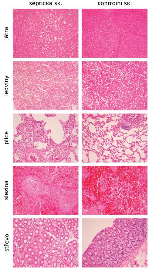 Histologické nálezy v orgánech na konci experimentu u skupiny septických a kontrolních zvířat