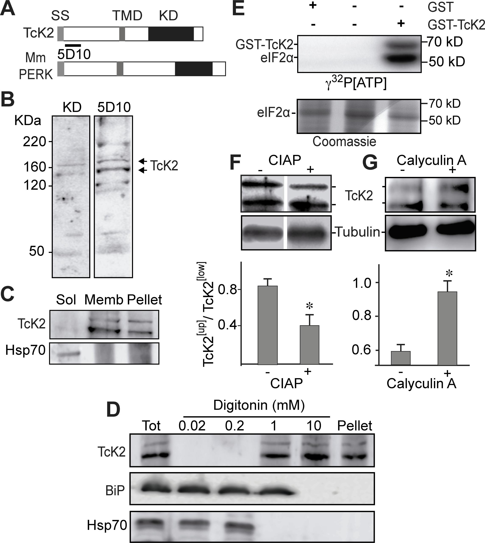 <i>T. cruzi</i> K2 is a membrane bound protein kinase that undergoes autophosphorylation and phosphorylates the parasite eIF2α.