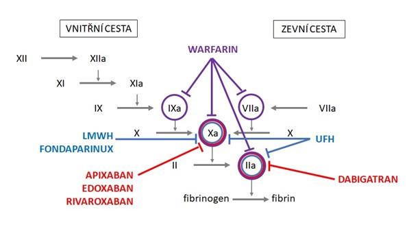 Cíle působení antikoagulancií v koagulační kaskádě