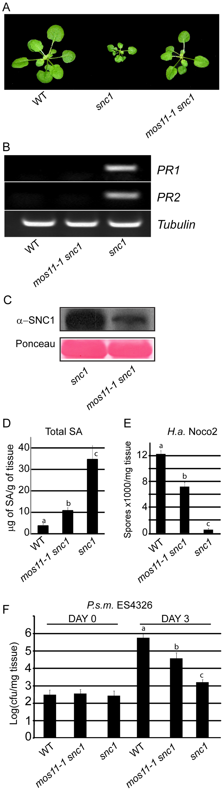 Suppression of <i>snc1</i>-associated dwarfism and enhanced resistance phenotypes by <i>mos11-1</i>.