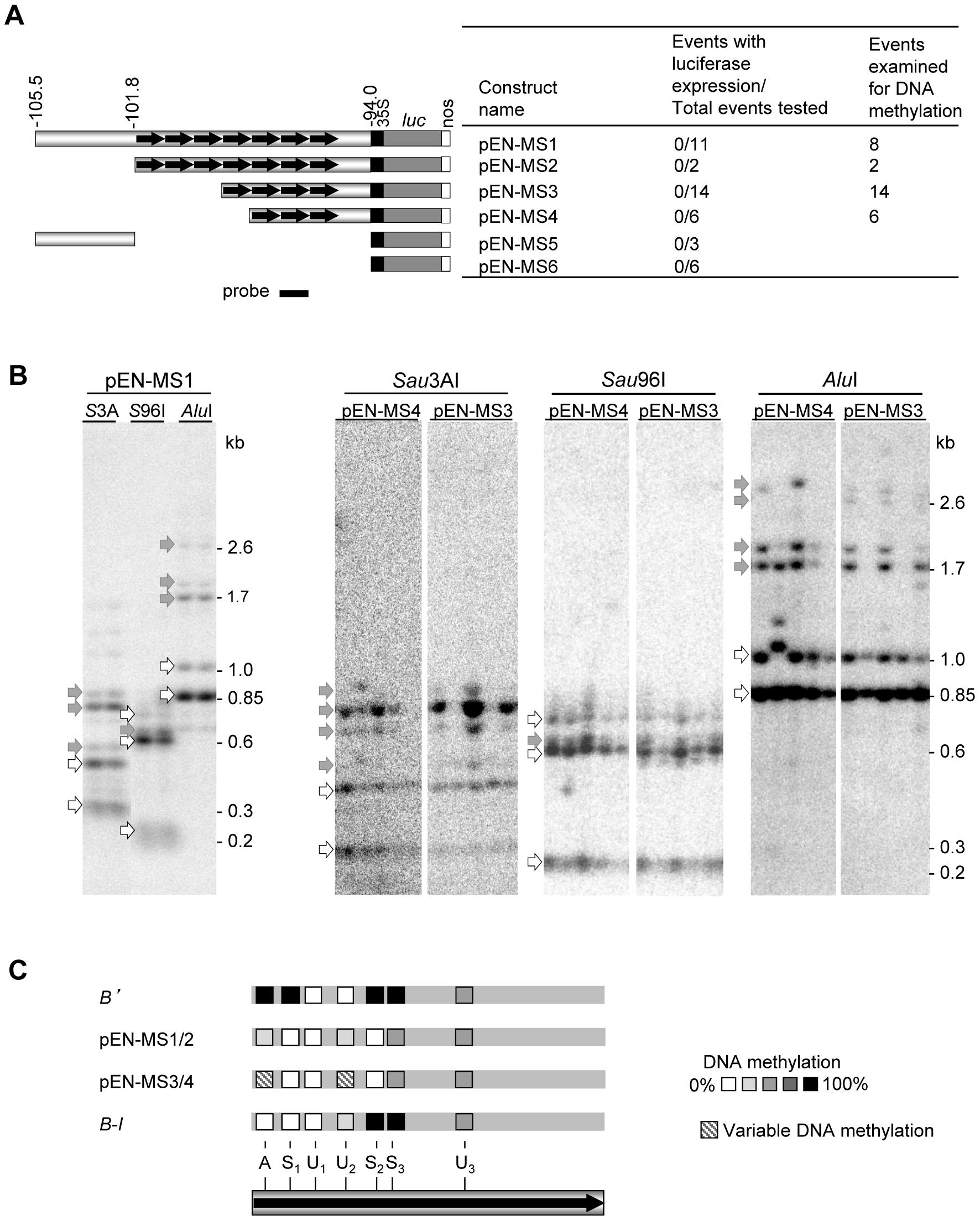 DNA methylation of maize <i>b1</i> repeats in <i>Arabidopsis</i>.