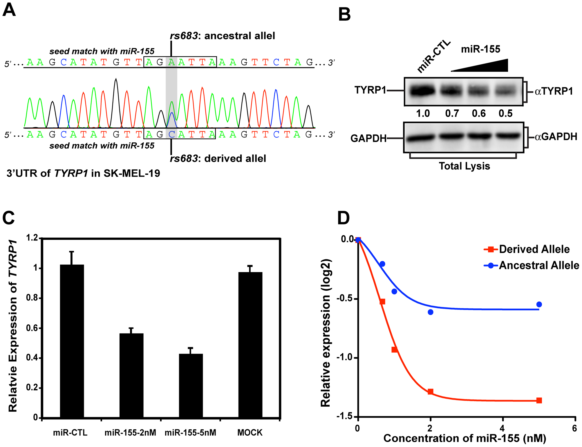 rs683 modulates endogenous <i>TYRP1</i> targeting by miR-155 in SK-MEL-19 cells.