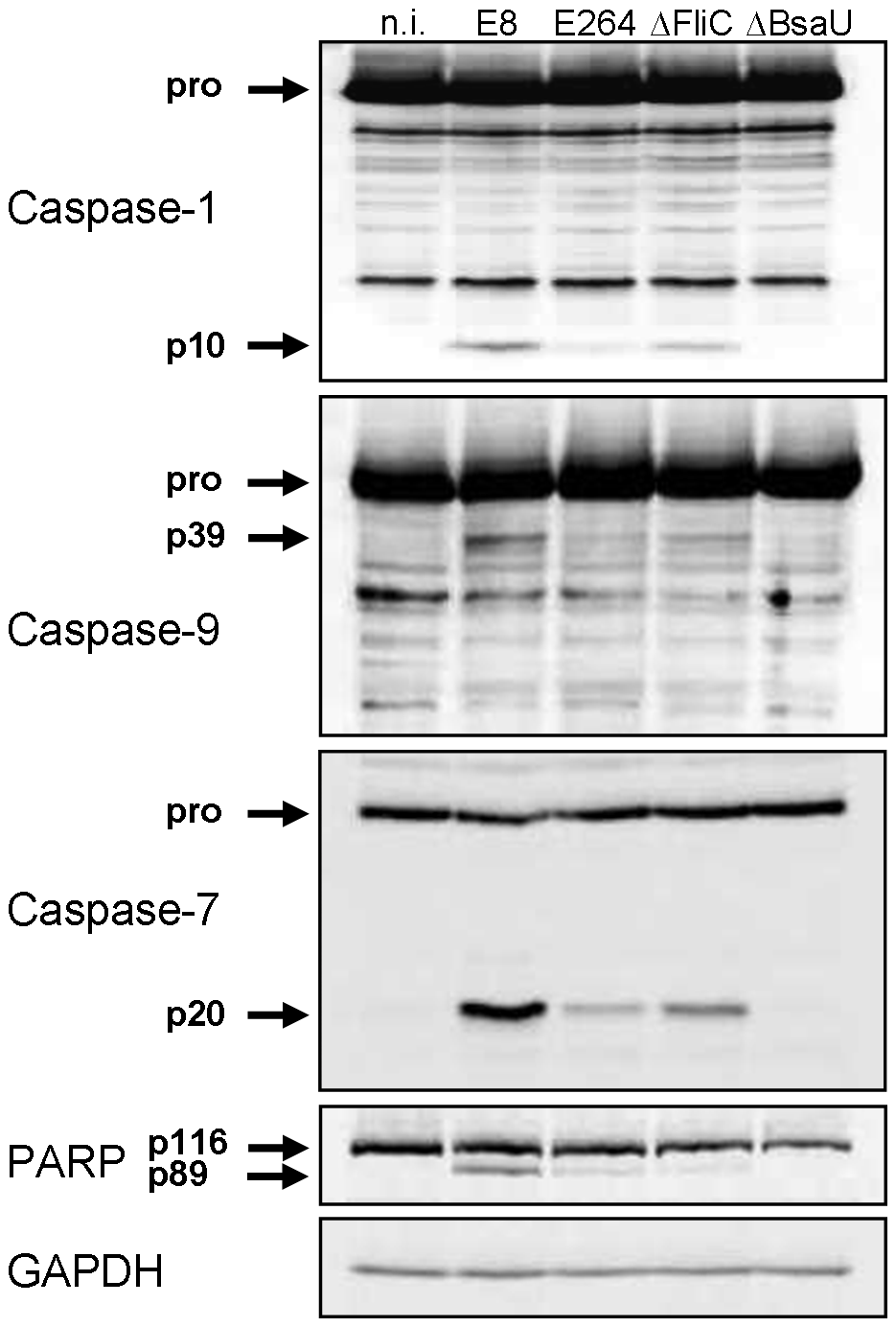 <i>B. pseudomallei</i> FliC contributes to caspase-1 activation in macrophages.