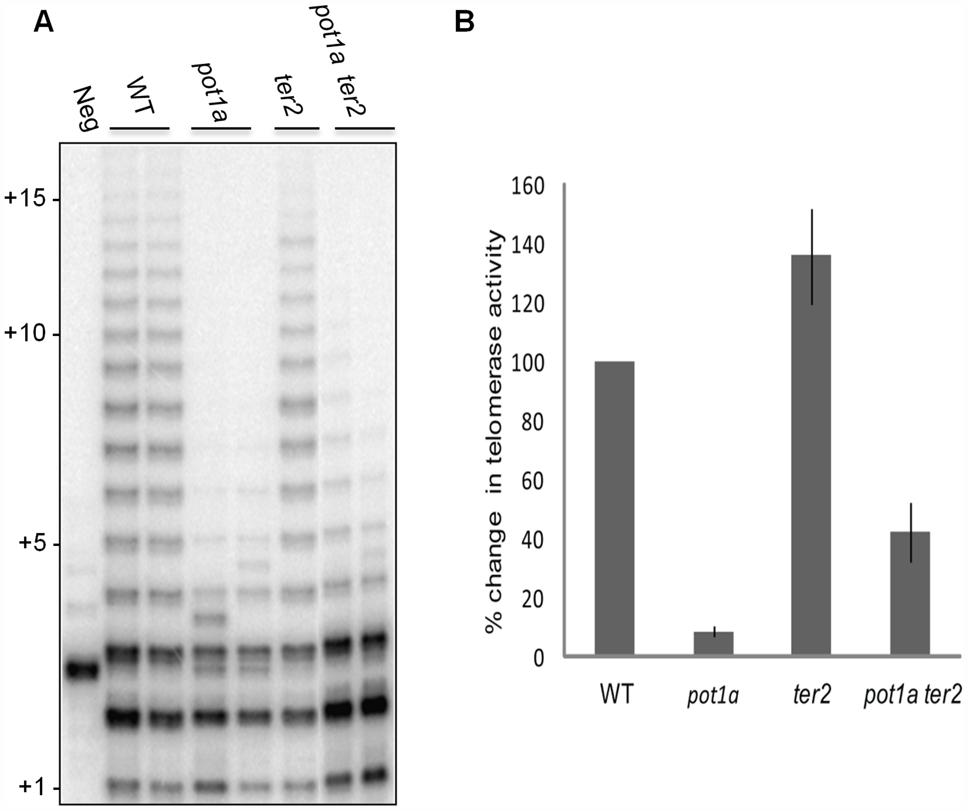 POT1a stimulates telomerase activity of the TER1 RNP.