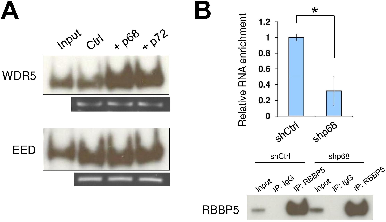 The RNA helicase p68 facilitates TrxG recruitment by SRA.