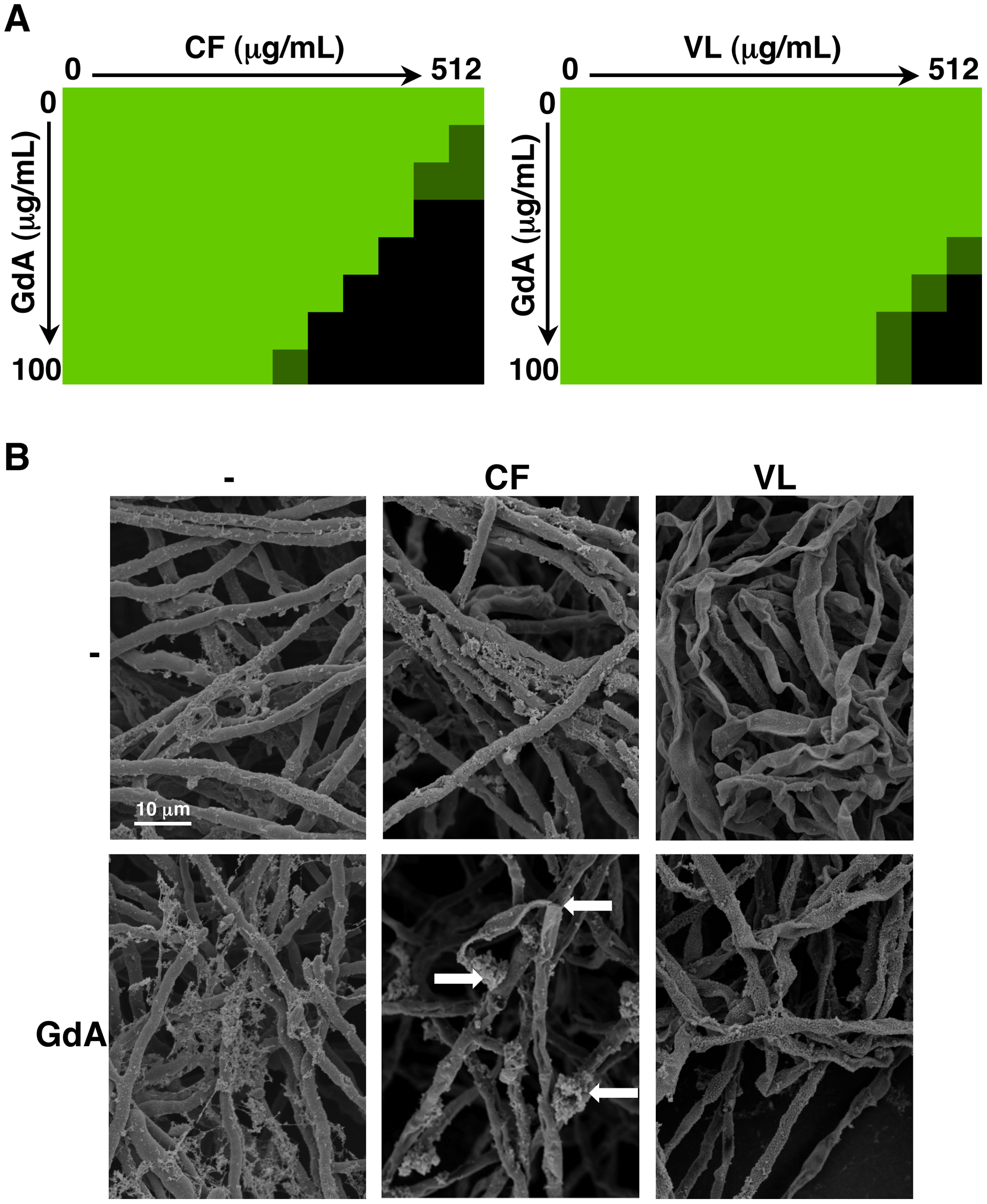 Pharmacological inhibition of Hsp90 enhances the efficacy of echinocandins and azoles against <i>A. fumigatus</i> biofilms and affects biofilm morphology.