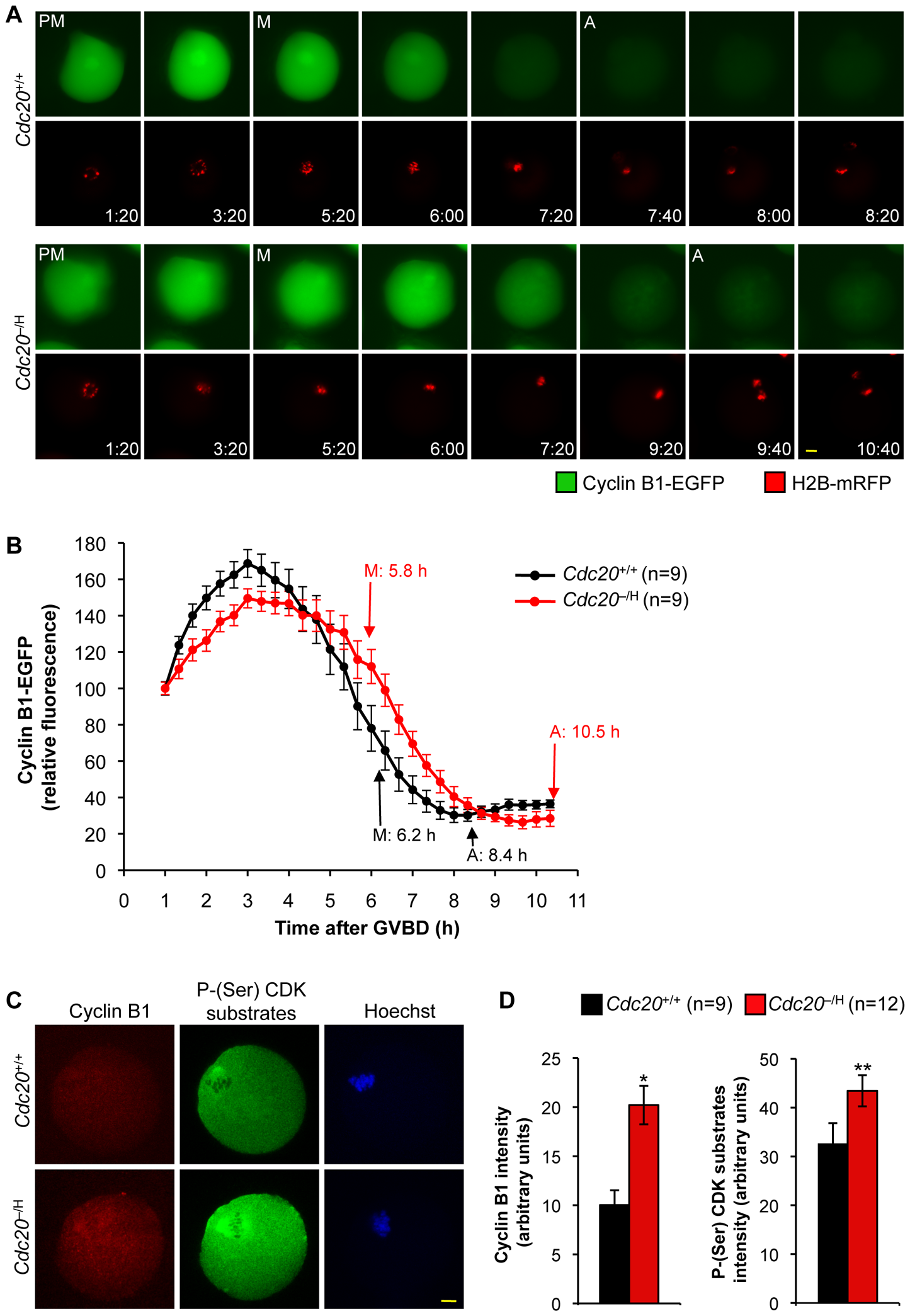 Cyclin B1 degradation is delayed during metaphase I if Cdc20 are low.
