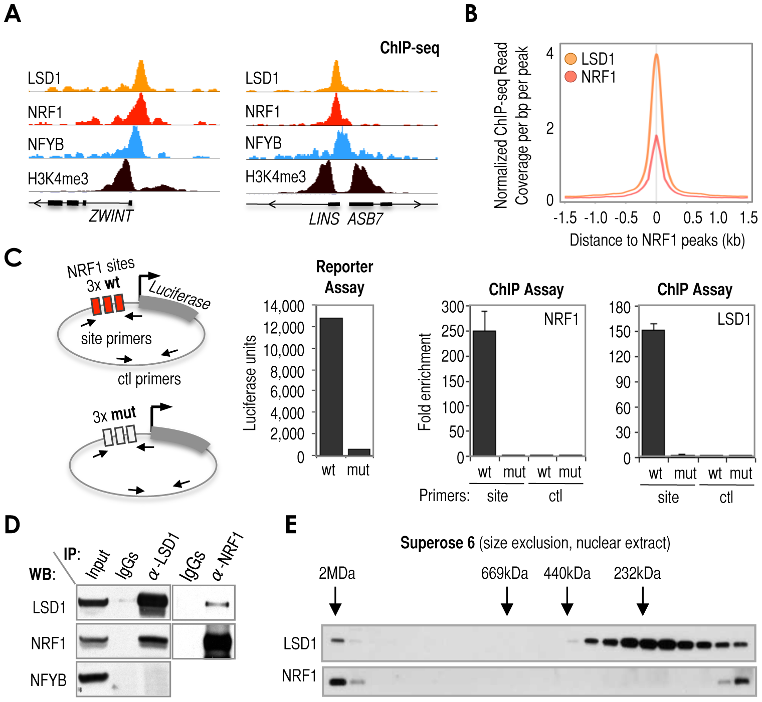 Cardinal motif NRF1 dictates the recruitment of KDM LSD1 via TF NRF1.