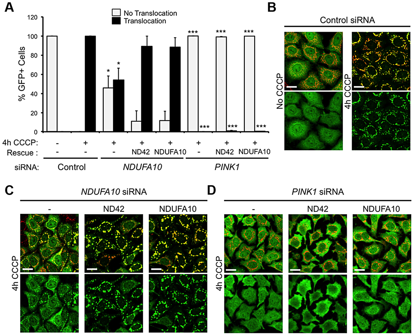 <i>NDUFA10/ND42</i> overexpression does not restore CCCP-induced Parkin translocation in the absence of <i>pink1</i>.