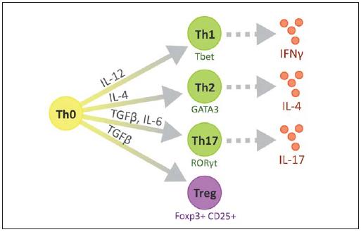 Různé podtypy CD4<sup>+</sup> pomocných T lymfocytů. Fig. 2. Diversity of CD4<sup>+</sup> T helper cell subsets.