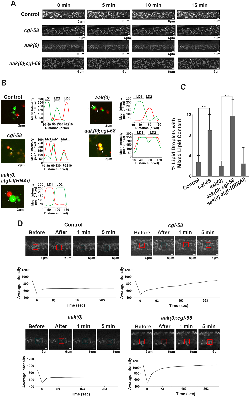 CGI-58 regulates lipid droplet fusion.