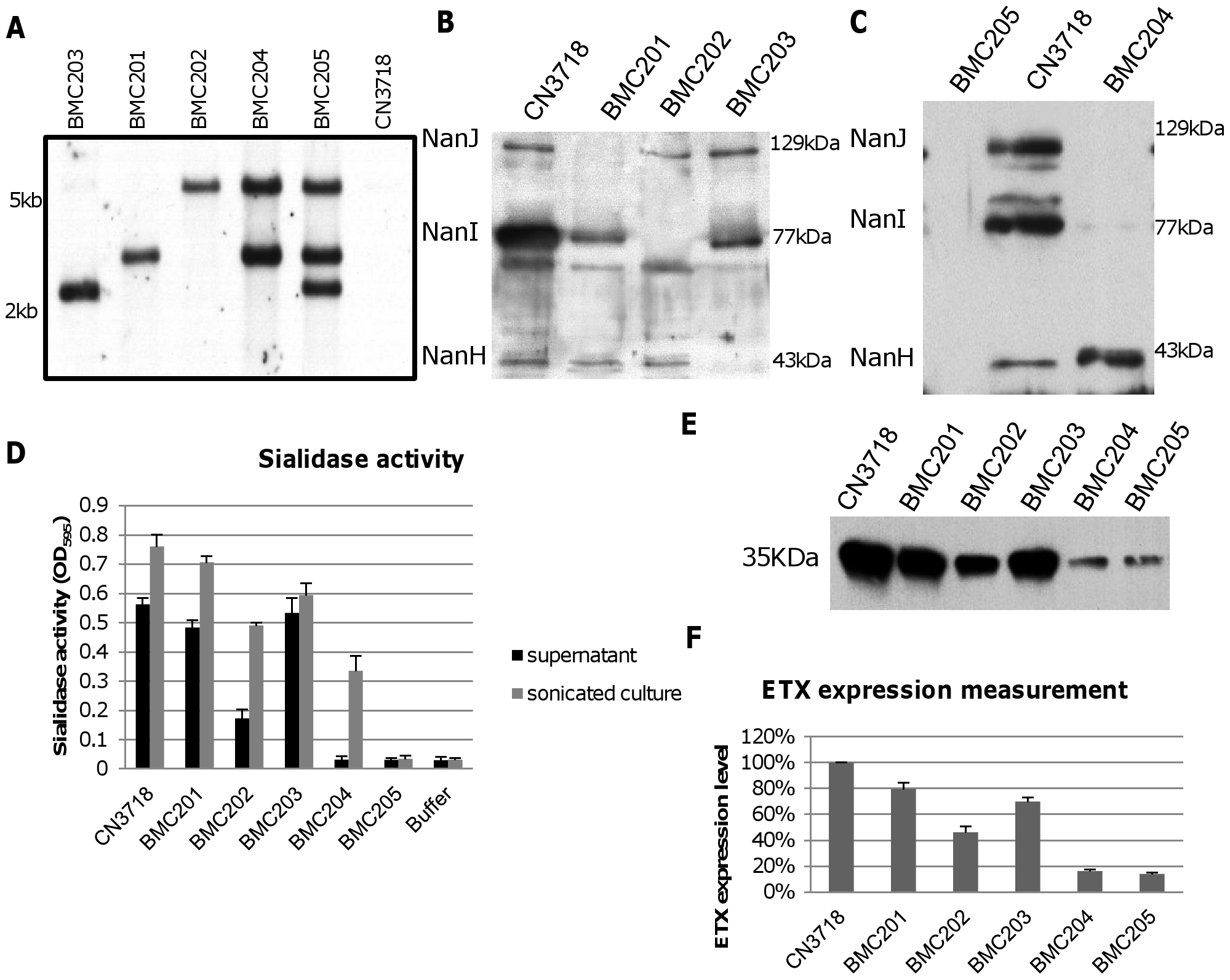 Intron-based mutagenesis to create isogenic CN3718 sialidase null mutants and characterization of those mutants.