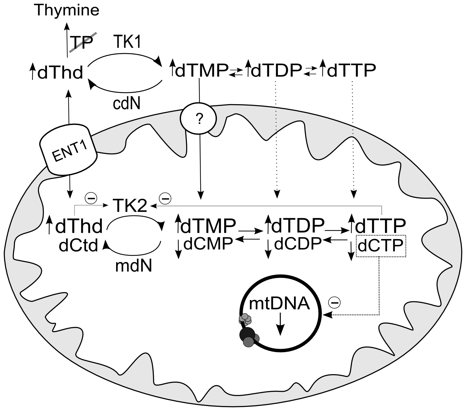 Hypothetical mechanism accounting for decrease in mtDNA replication caused by thymidine overload.