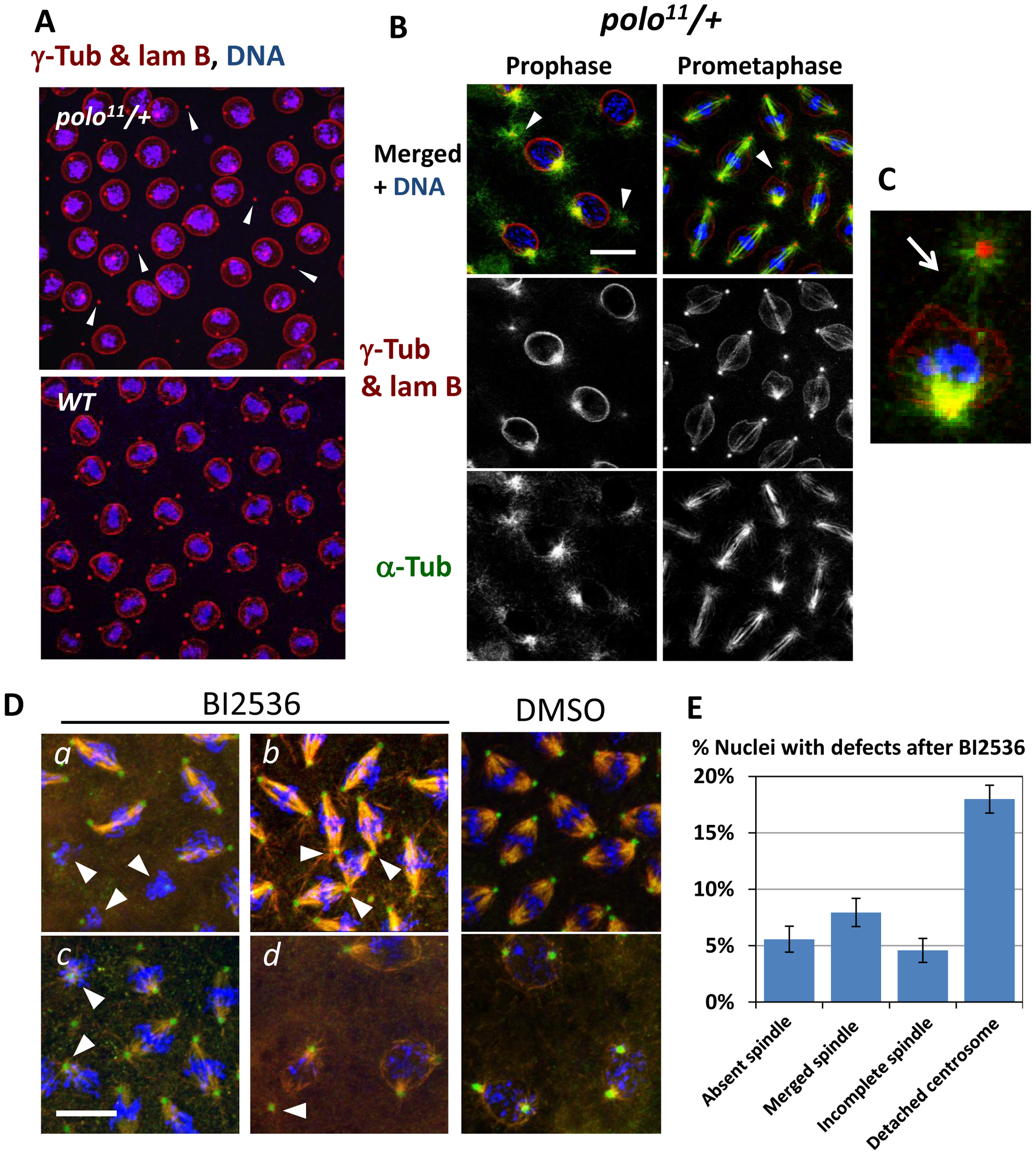 The Polo kinase is required for proper centrosome attachment to nuclei in syncytial embryos.