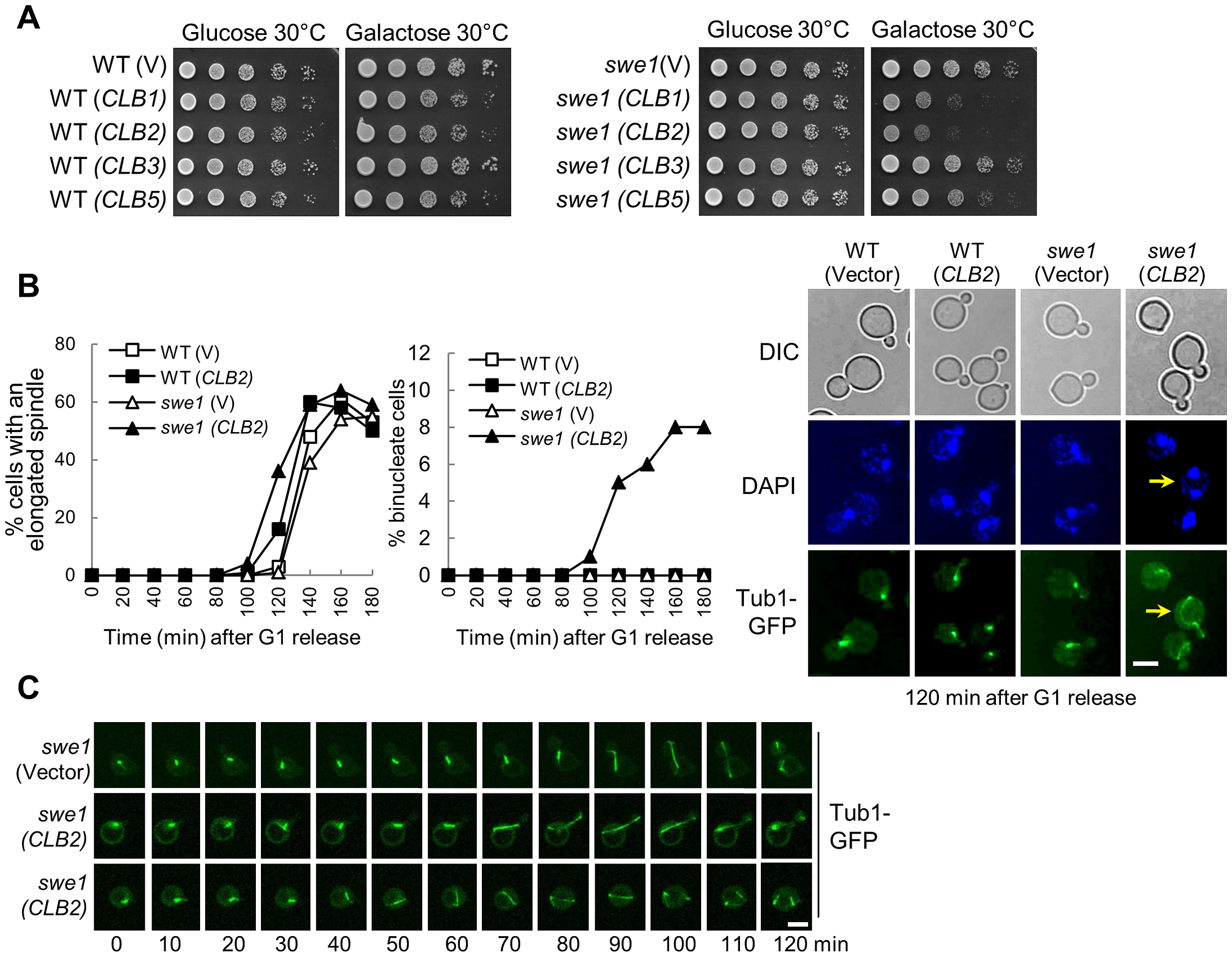 Overexpression of mitotic cyclin <i>CLB2</i> results in premature spindle elongation in <i>swe1Δ</i> mutants.