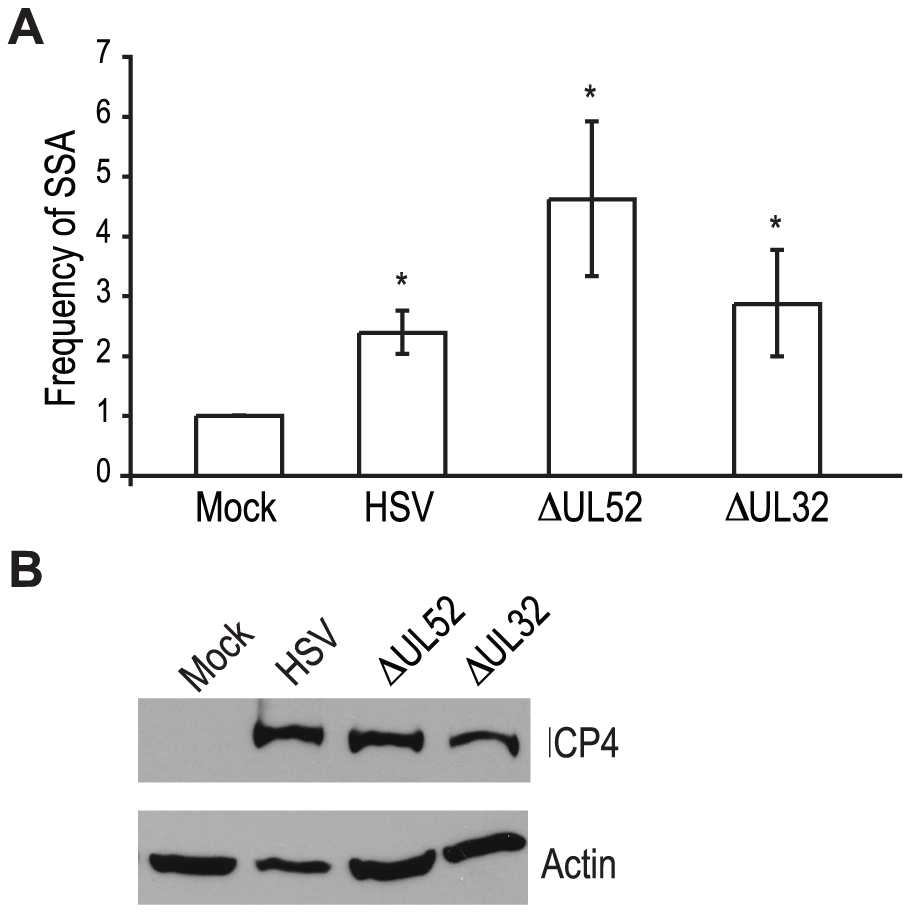 Viral DNA replication is not required to increase single strand annealing during HSV infection.