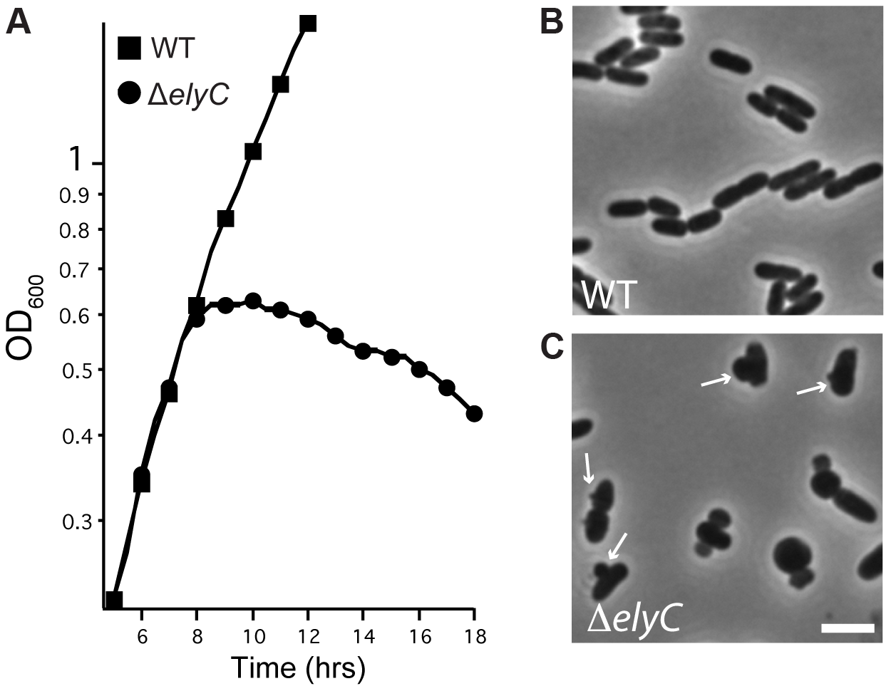 Loss of ElyC function results in lysis.
