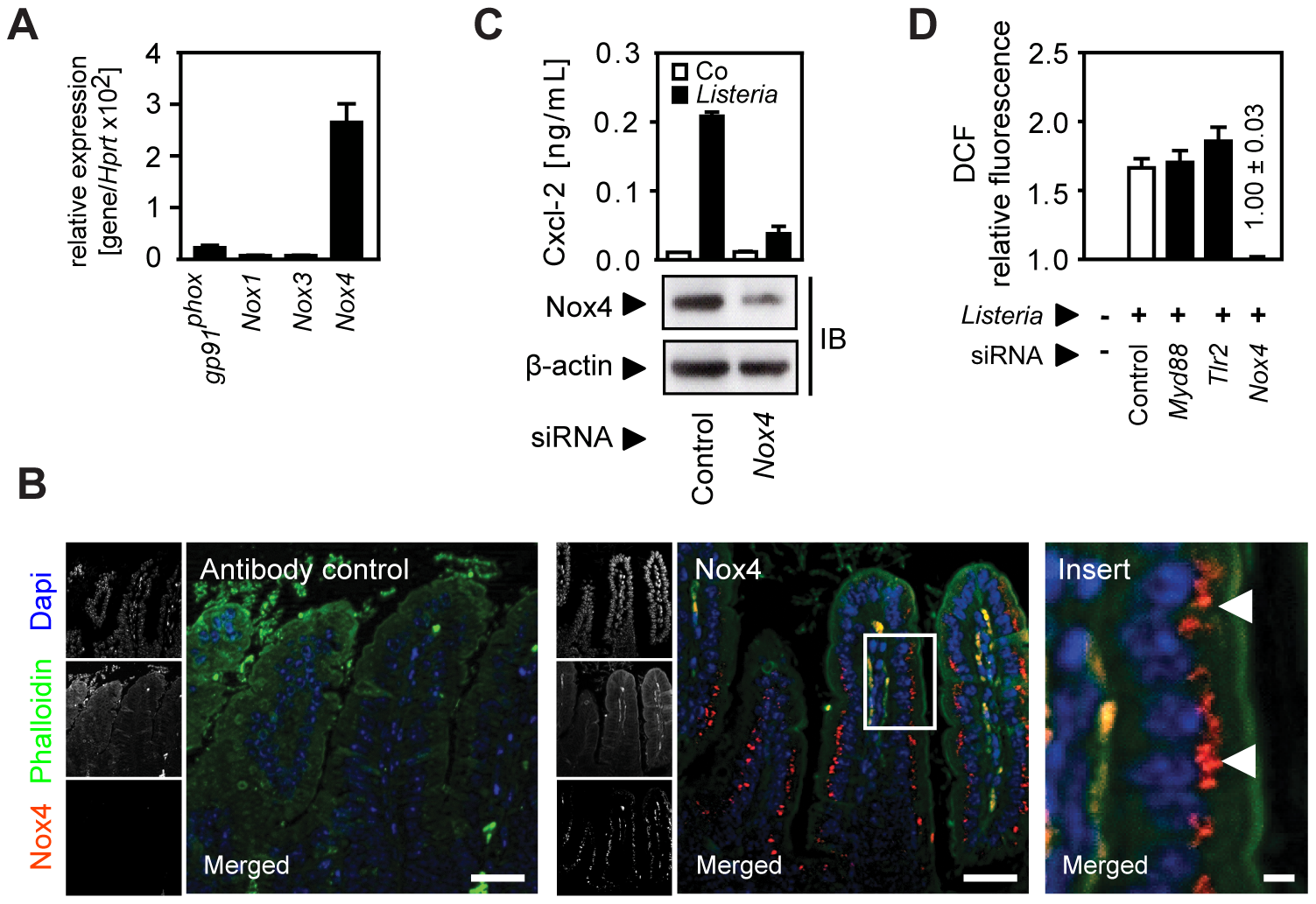 Activation of the NADPH oxidase (Nox) 4 mediates indirect epithelial activation.