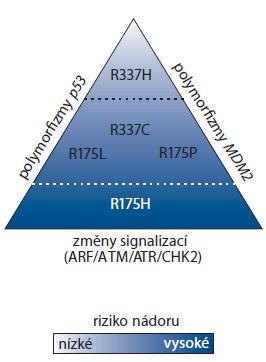 Gradientový efekt dopadu mutací p53. Někteří mutanti p53 jsou zcela inaktivní (R175H), zatímco jiní si ponechávají částečnou aktivitu, případně se jejich aktivita blíží aktivitě standardní varianty p53 (R337H). Stupeň aktivity p53 koresponduje s mírou susceptibility k nádorům. Výsledný dopad mutace p53 je modifi kován dalšími genetickými vlivy, především polymorfi zmy genu MDM2 a p53. Převzato a upraveno dle [48].