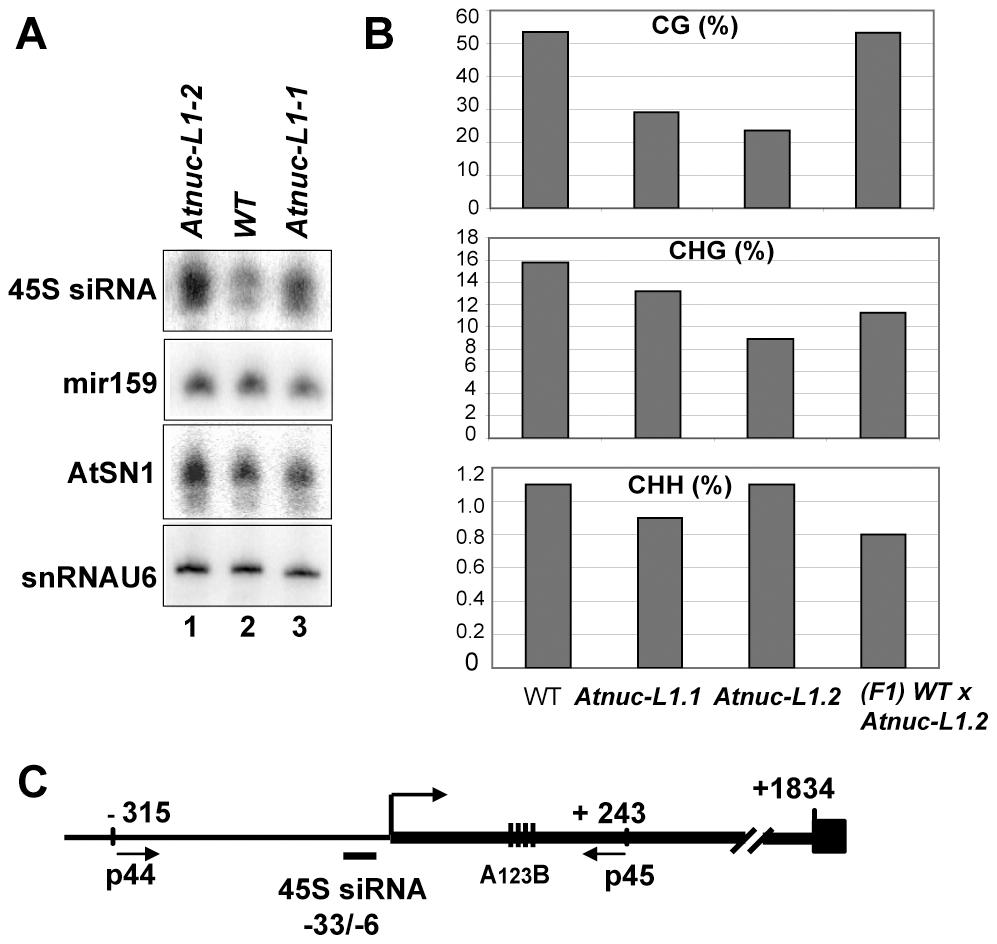 AtNUC-L1 gene disruption induces accumulation of siRNA 45S and rRNA gene hypomethylation on the 5′ETS.