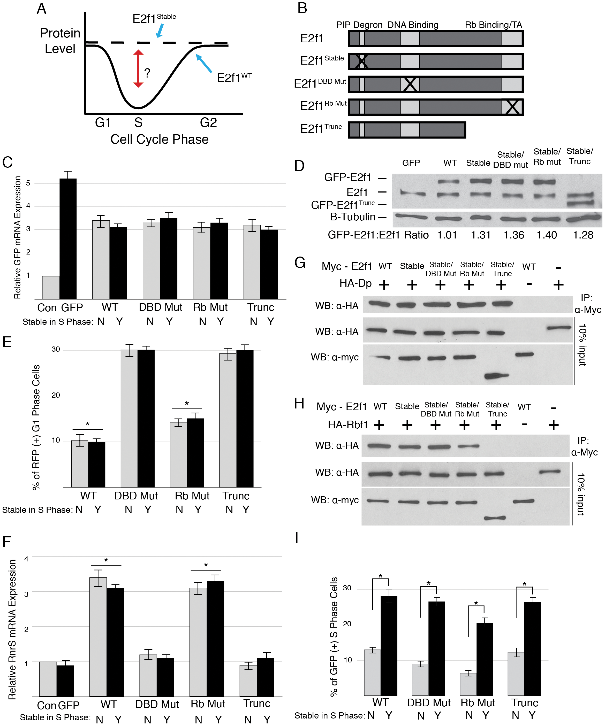 Domain mutations disrupt critical E2f1 functions.
