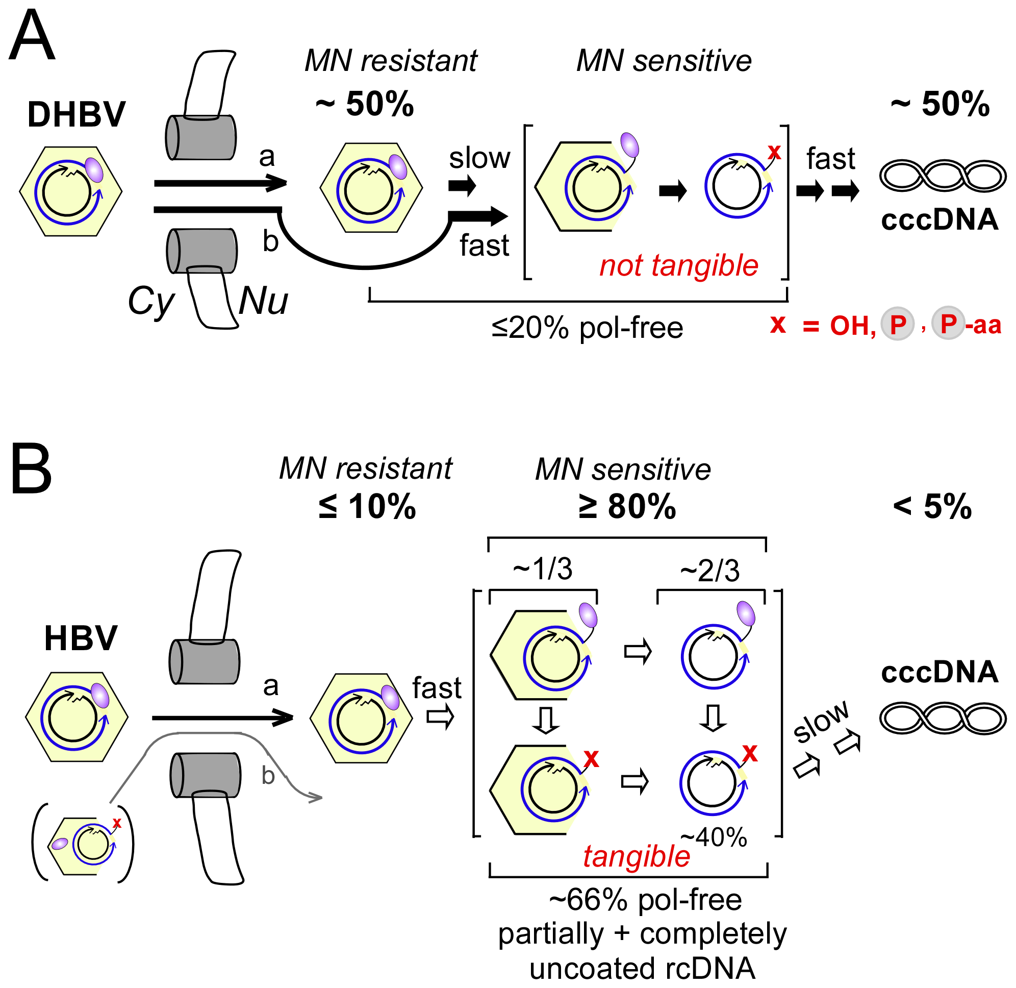 Virus-specific differences between DHBV and HBV cccDNA formation.