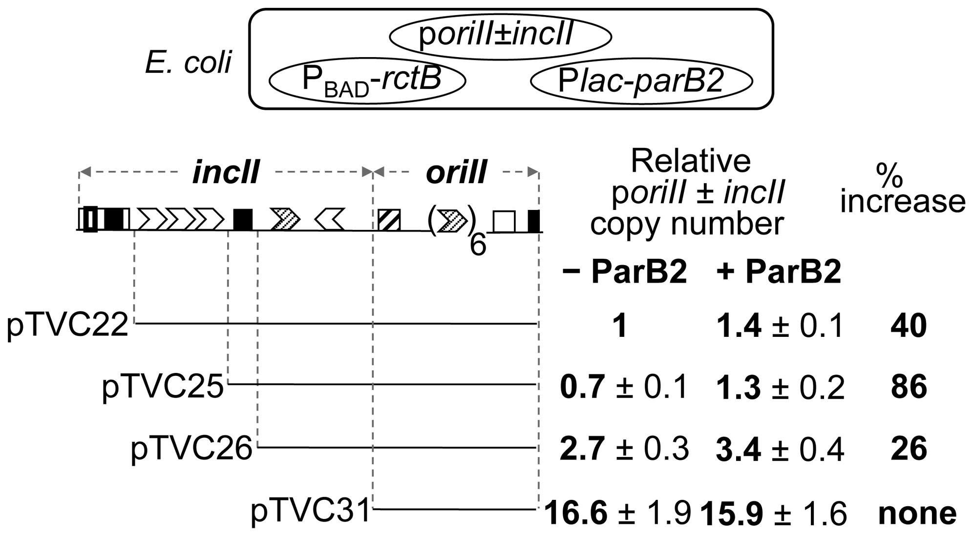 Increase in copy number of <i>oriII</i> plasmids by ParB2 in the absence of <i>parS2-B</i> in <i>E. coli</i>.