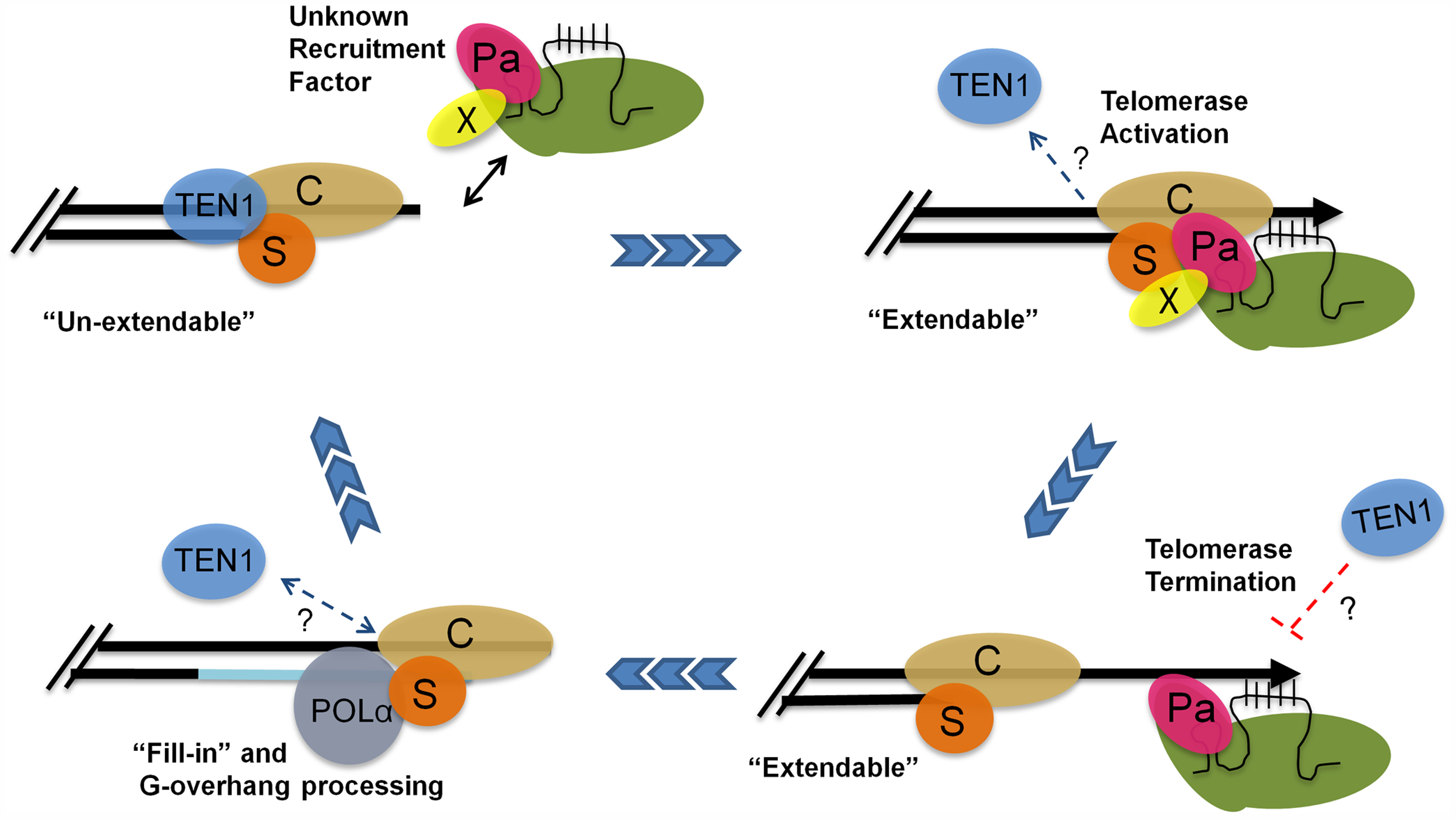 A model for telomere replication in <i>Arabidopsis</i>.