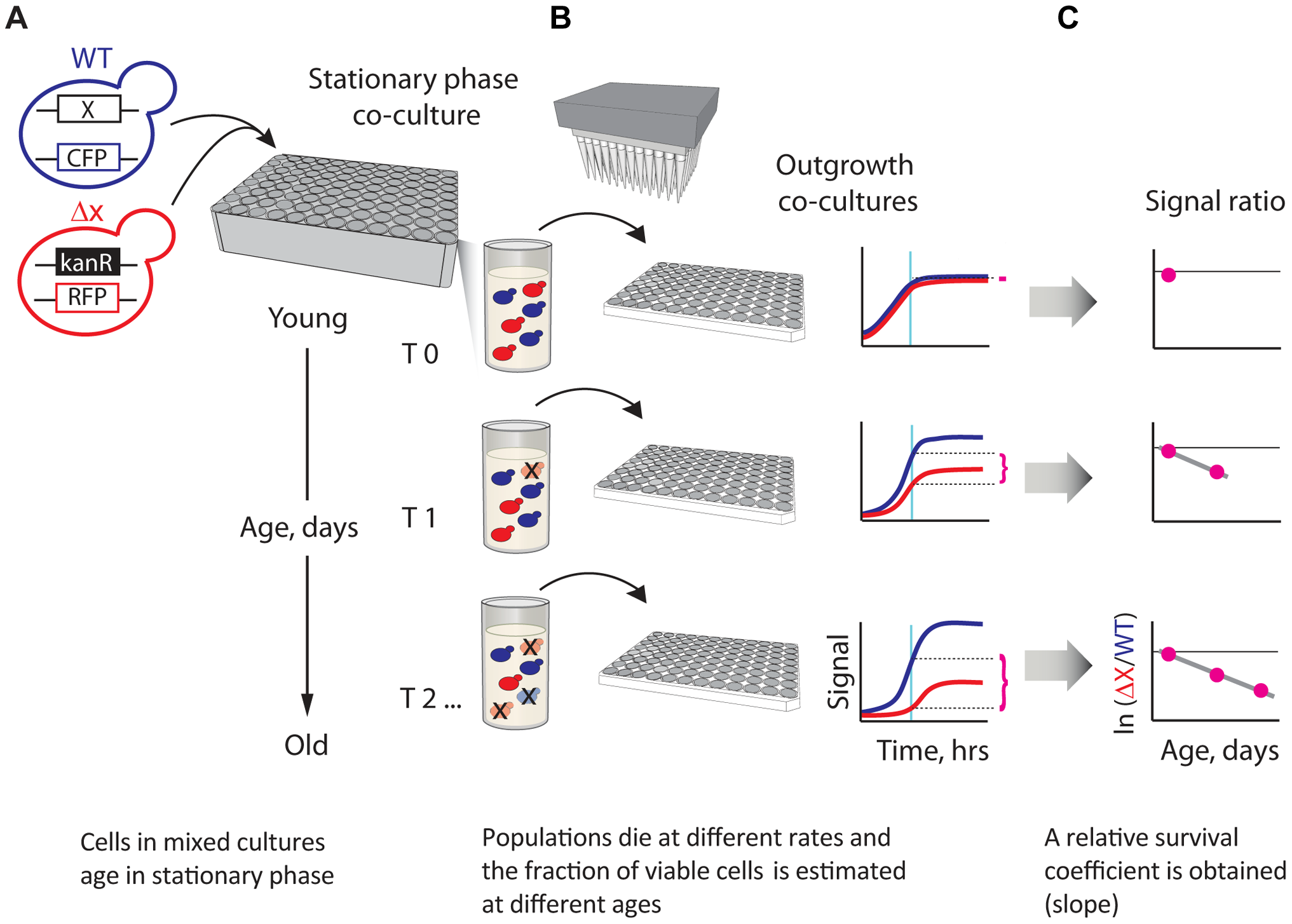 A novel strategy enabling quantitative genetic analysis of yeast CLS.