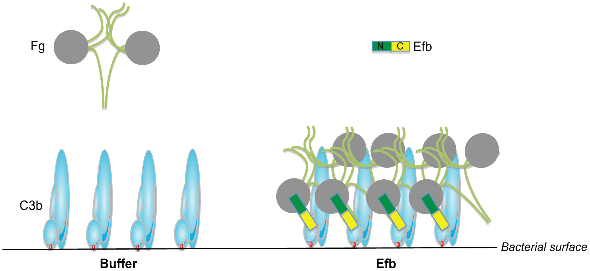 Proposed mechanism for phagocytosis inhibition by Efb.