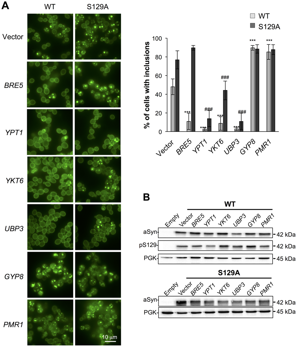 Modulation of ER-to-Golgi trafficking alters S129A aSyn inclusion formation.