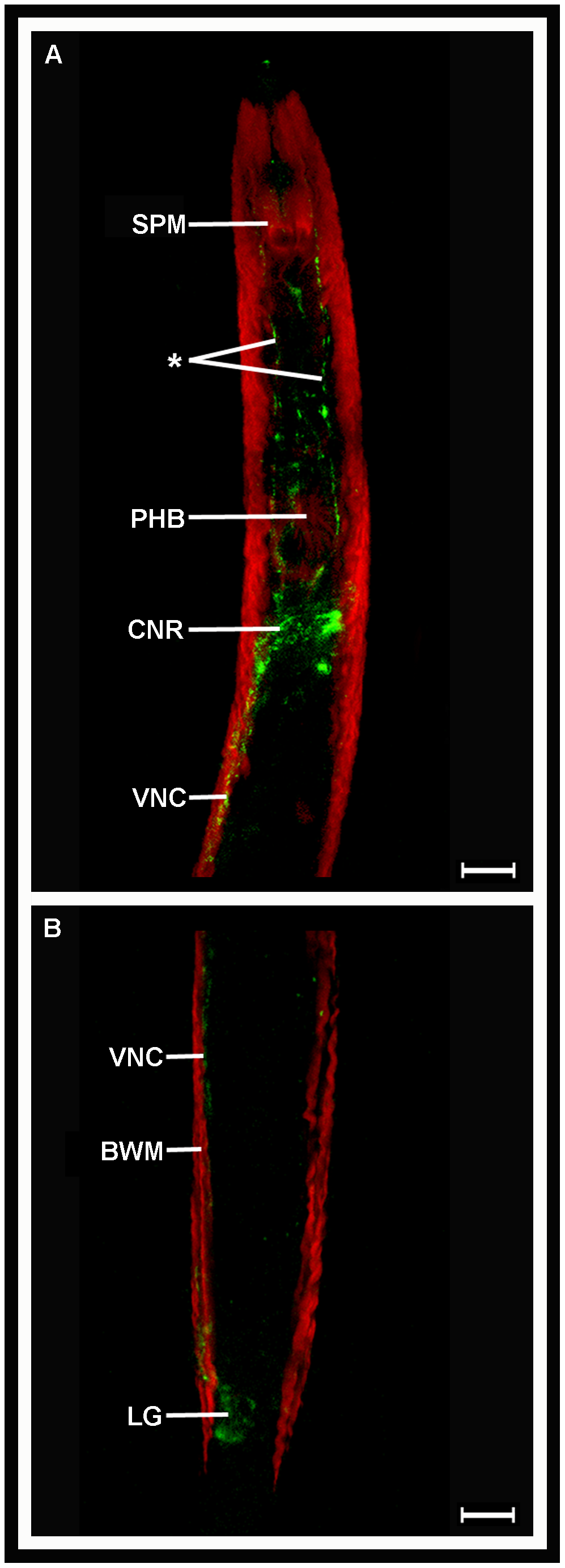 <i>Globodera pallida</i> FLP-32 (AMRNALVRFa) is localised in the nervous system of pre-parasitic juveniles.