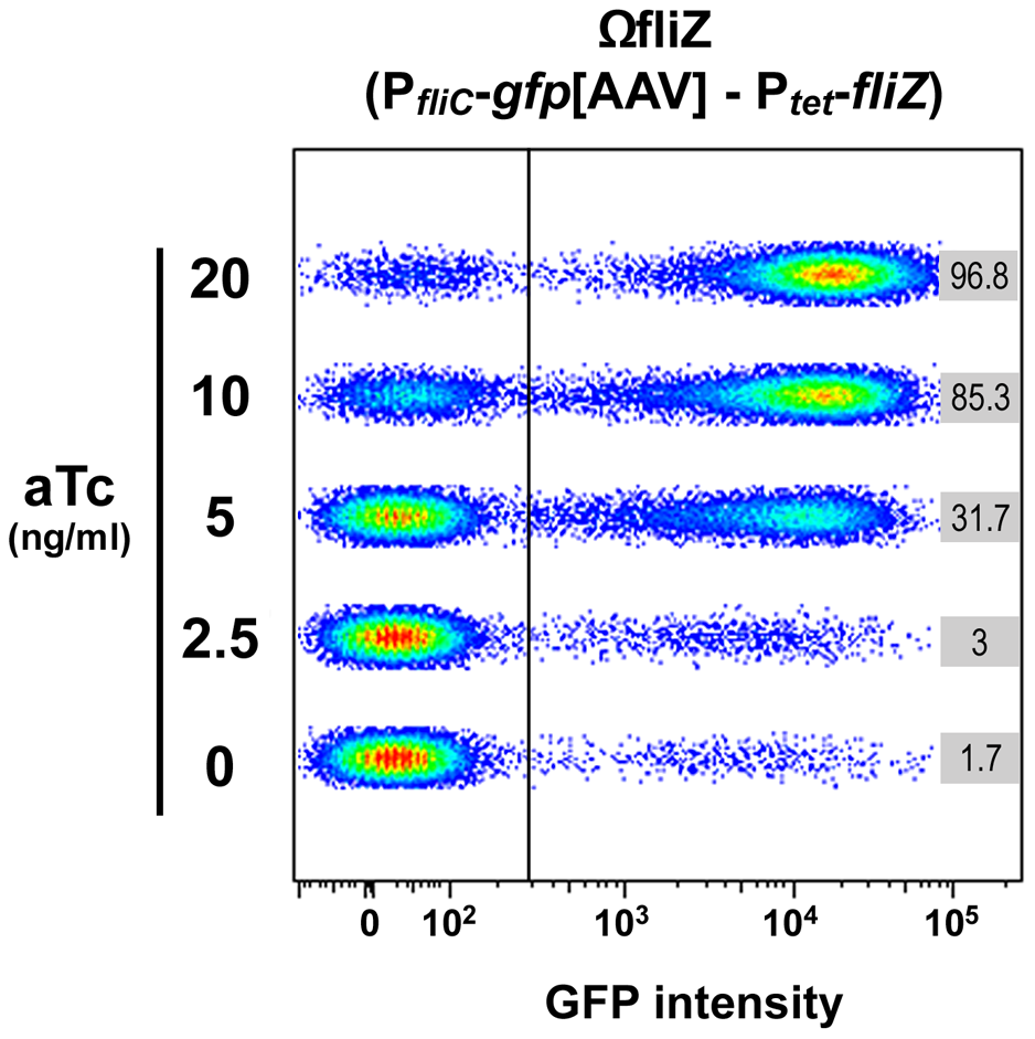 FliZ protein level governs the transition between OFF and ON states of <i>fliC</i> gene expression in individual <i>Xenorhabdus</i> bacteria.