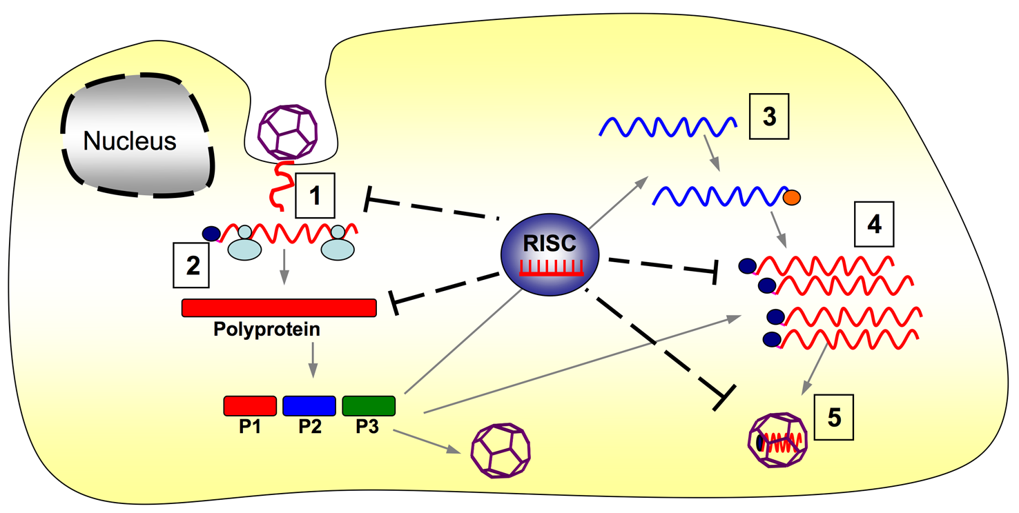 RISC-mediated inhibition of CVA21 life cycle.