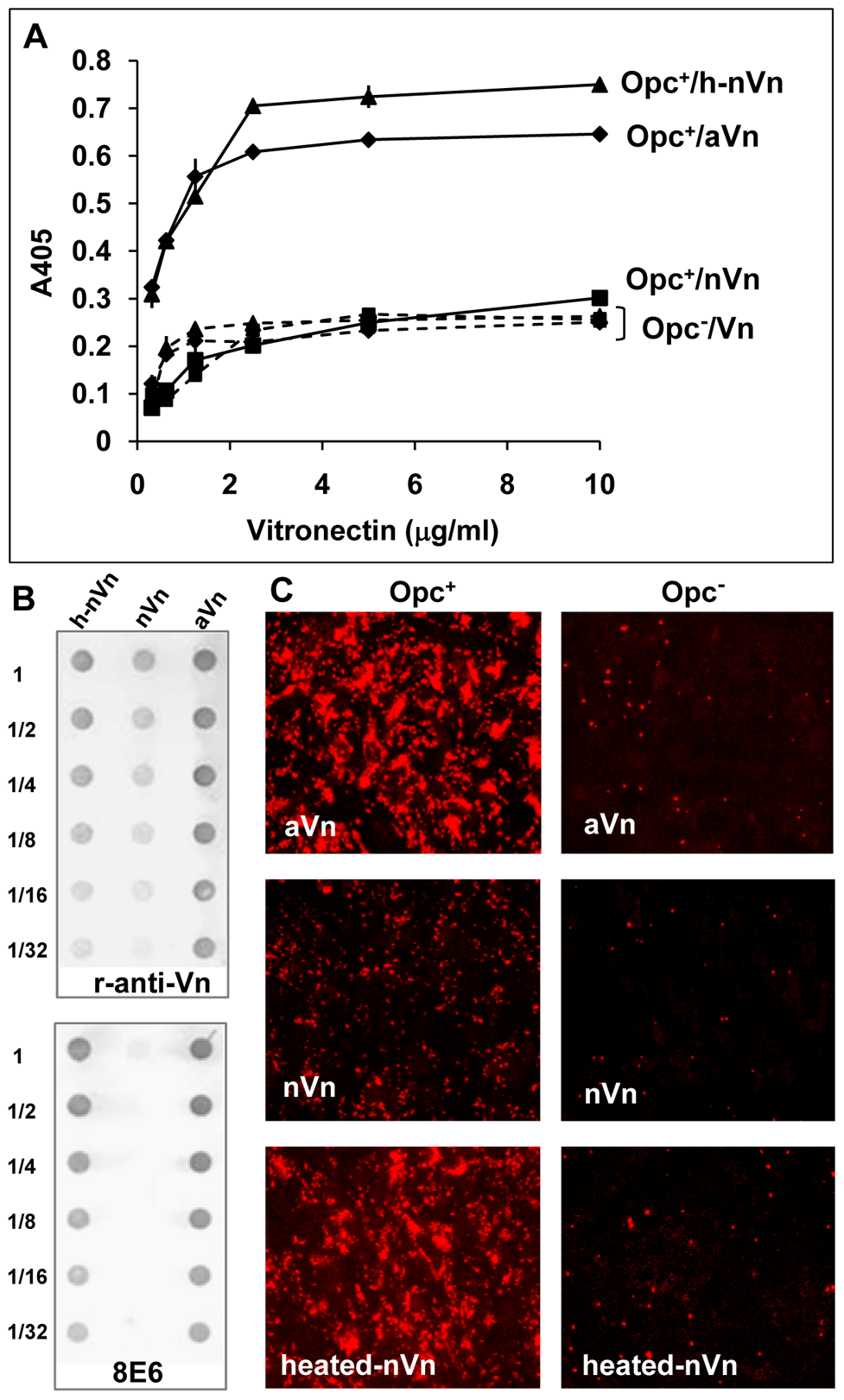 Deliberate modification of nVn conformation increases Opc–expressing meningococcal interactions with Vn and with HBMECs.