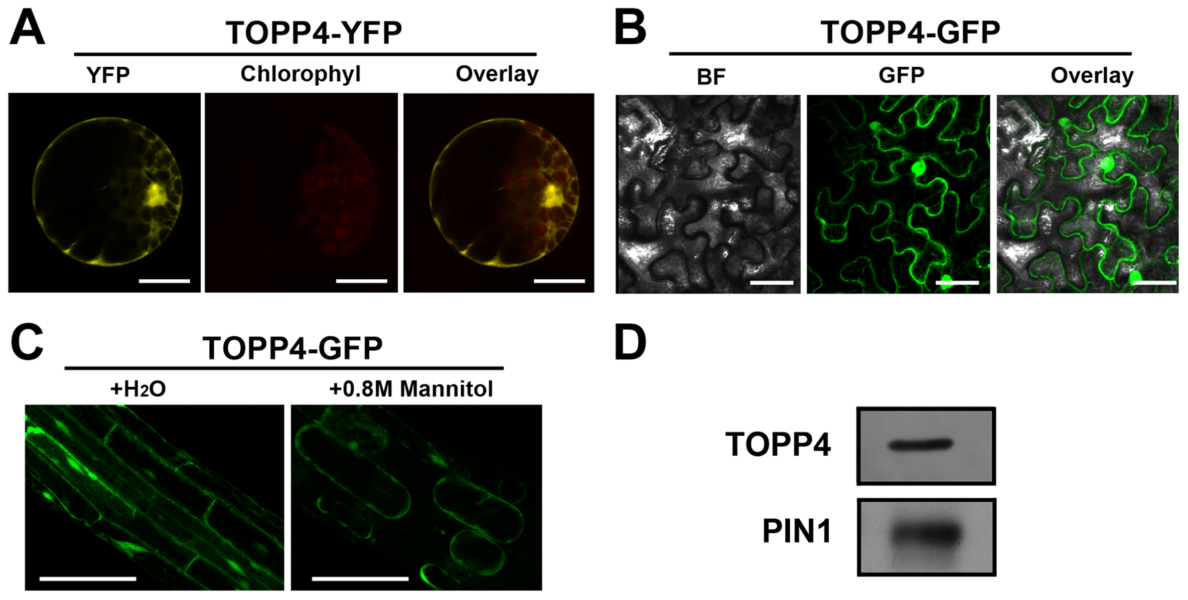 Subcellular localization of the TOPP4 protein.