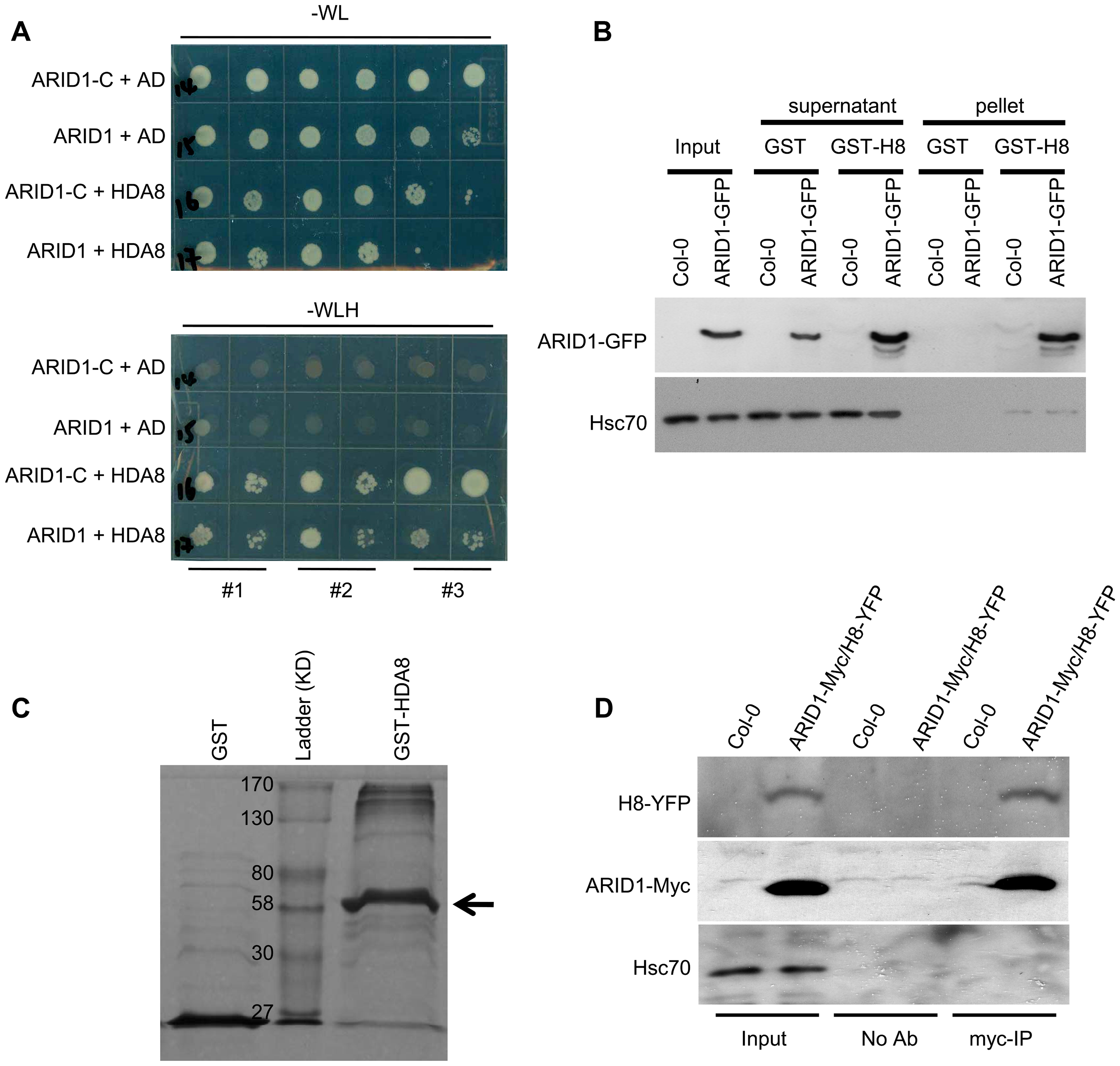 ARID1 physically associates with Histone Deacetylase 8 (HDA8).
