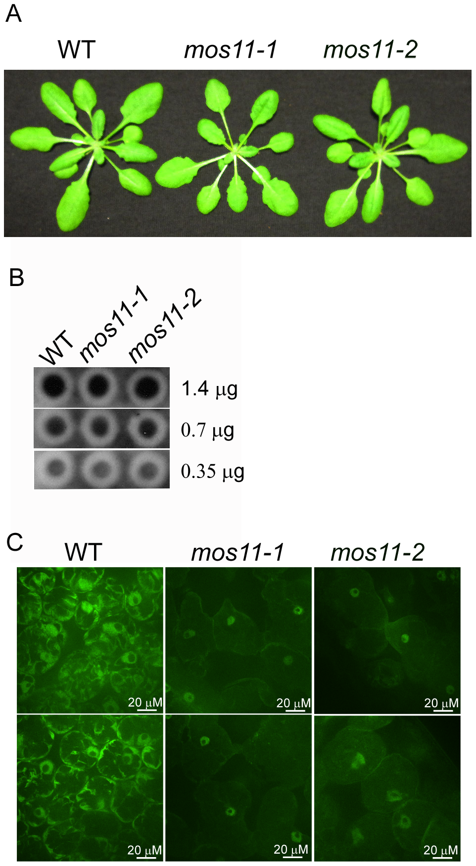 mRNA export is impaired in <i>mos11</i> plants.