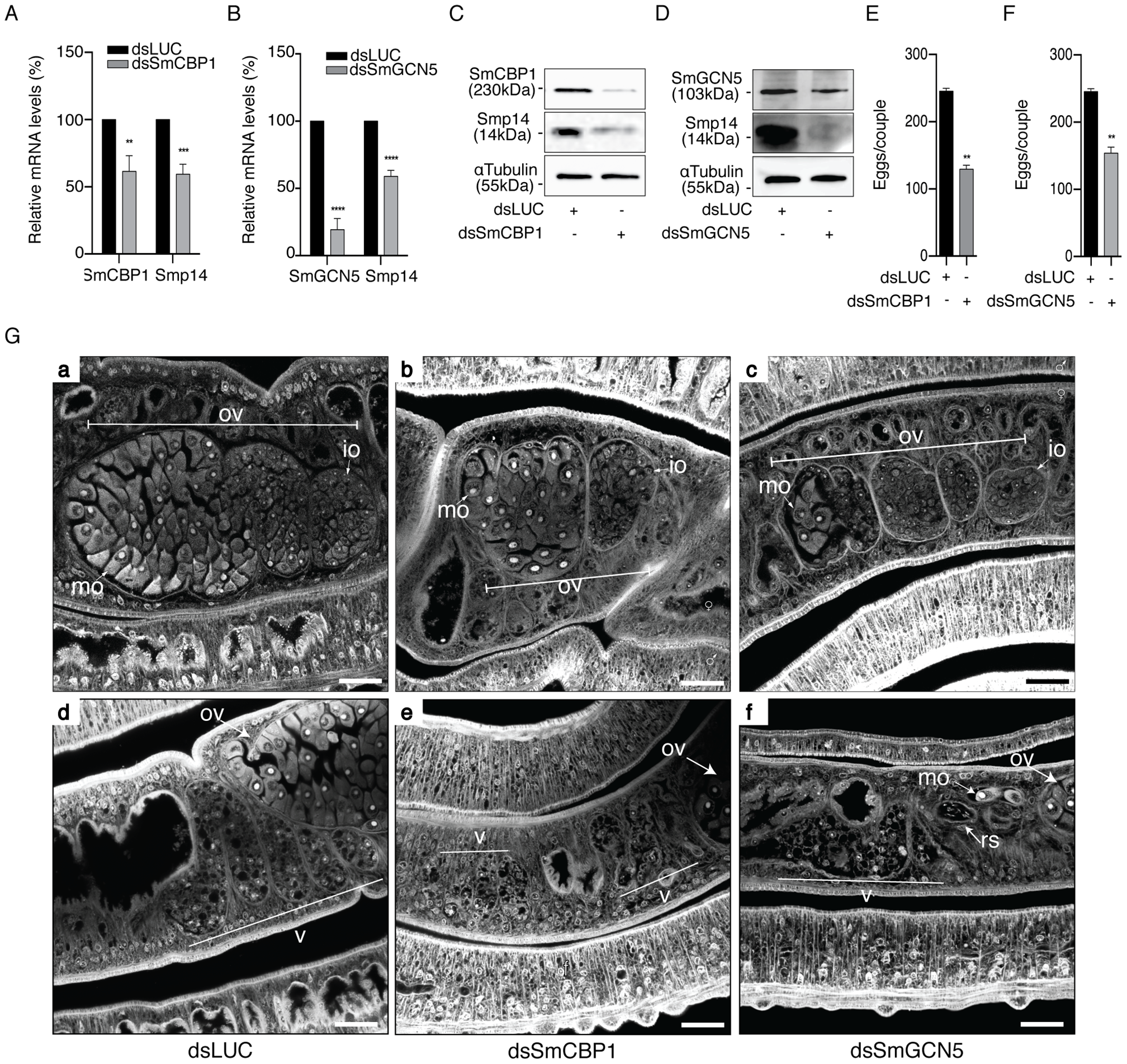SmCBP1 and SmGCN5 play a key role in Smp14 expression and female sexual reproductive development.
