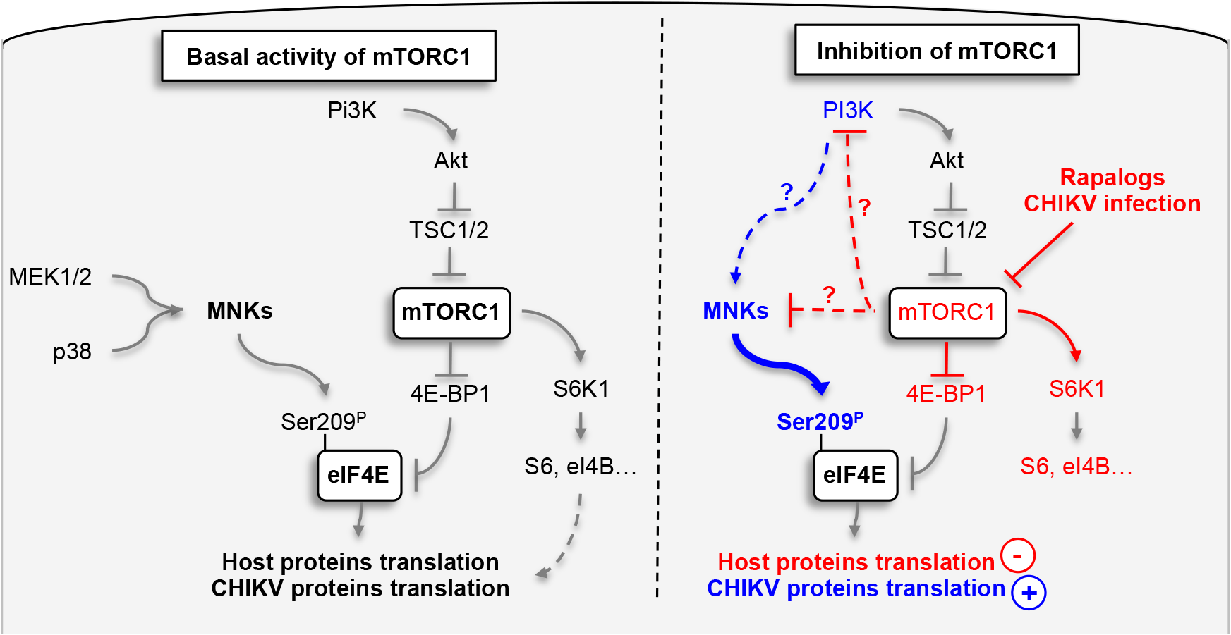 Schematic representation of mechanism by which CHIKV protein synthesis is increase by the inhibition of mTORC1.