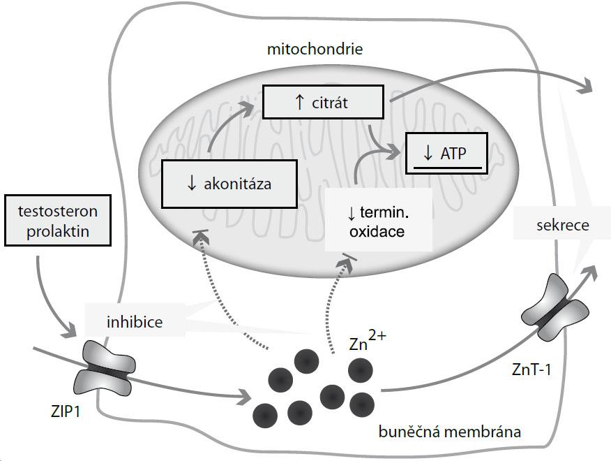 """Účinek zinečnatých iontů na energetické hospodaření prostaty. Zinečnaté ionty se do buněk prostaty dostávají prostřednictvím zinkových transportérů, zejména ZIP1. ZIP1 může být indukován testosteronem a prolaktinem. Vysoké hladiny tlumí mitochondriální akonitázu, čímž dochází k akumulaci citrátu, jeho exkreci do seminální tekutiny (spolu se zinkem) a z toho vyplývající energetické """"nevýhodnosti"""". Zinečnaté ionty dále tlumí terminální oxidaci, a udržují tak prostatické buňky na nízké hladině respirace."""