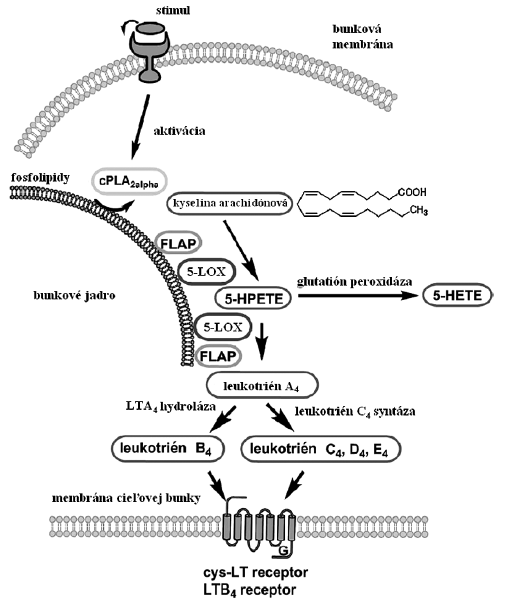 Schéma biosyntézy leukotriénov Aktiváciou bunky exprimujúcej 5-LOX dochádza v prvom kroku k uvoľneniu kyseliny arachidónovej prostredníctvom cPLA2. 5-LOX v spolupráci s FLAP oxygenuje AA za vzniku hydroperoxidu (5-HpETE), ktorý môže byť redukovaný glutatión peroxidázou na 5-HETE alebo ďalším pôsobením 5-LOX/FLAP vzniká leukotriénový epoxid LTA<sub>4</sub>. Ten podľahne hydrolytickému štiepeniu katalyzovanému LTA<sub>4</sub>-hydrolázou za vzniku LTB<sub>4</sub>. Alternatívne LTA<sub>4</sub> konjuguje s glutatiónom za vzniku cysteinyl leukotriénov (LTC<sub>4</sub>, LTD<sub>4</sub>, LTE<sub>4</sub>), reakcia je katalyzovaná leukotrién C4 syntázou. Vznikajúce leukotriény pôsobia na cieľové bunky prostredníctvom príslušných receptorov: LTB4 cez LTB<sub>4</sub> receptory, cysteinyl leukotriény cez cys-LT receptory (upravené podľa <sup>1</sup>).