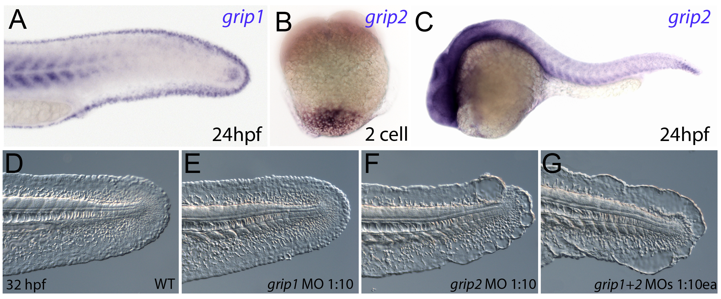 Conserved and redundant roles of zebrafish Grip1/2 proteins.