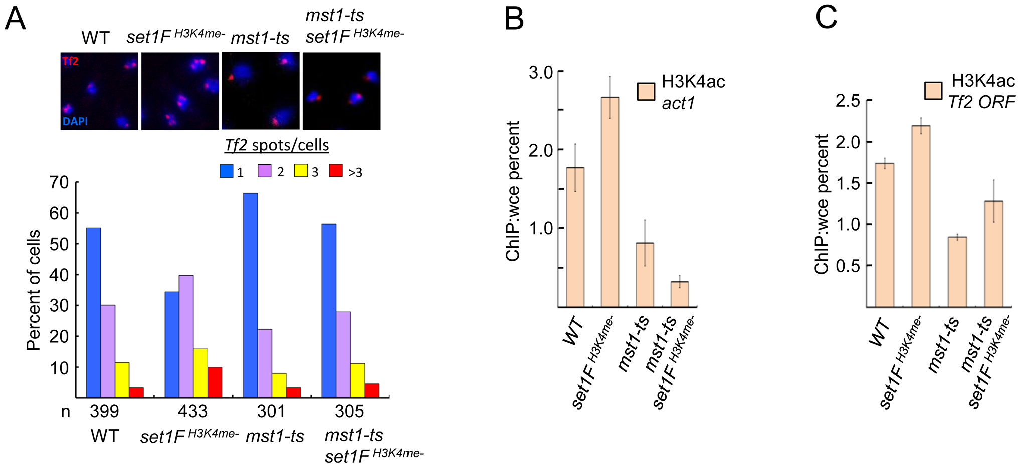 Set1C-mediated H3K4me contributes to the integrity of <i>Tf</i> bodies by antagonizing the H3K4 acetyltransferase Mst1.