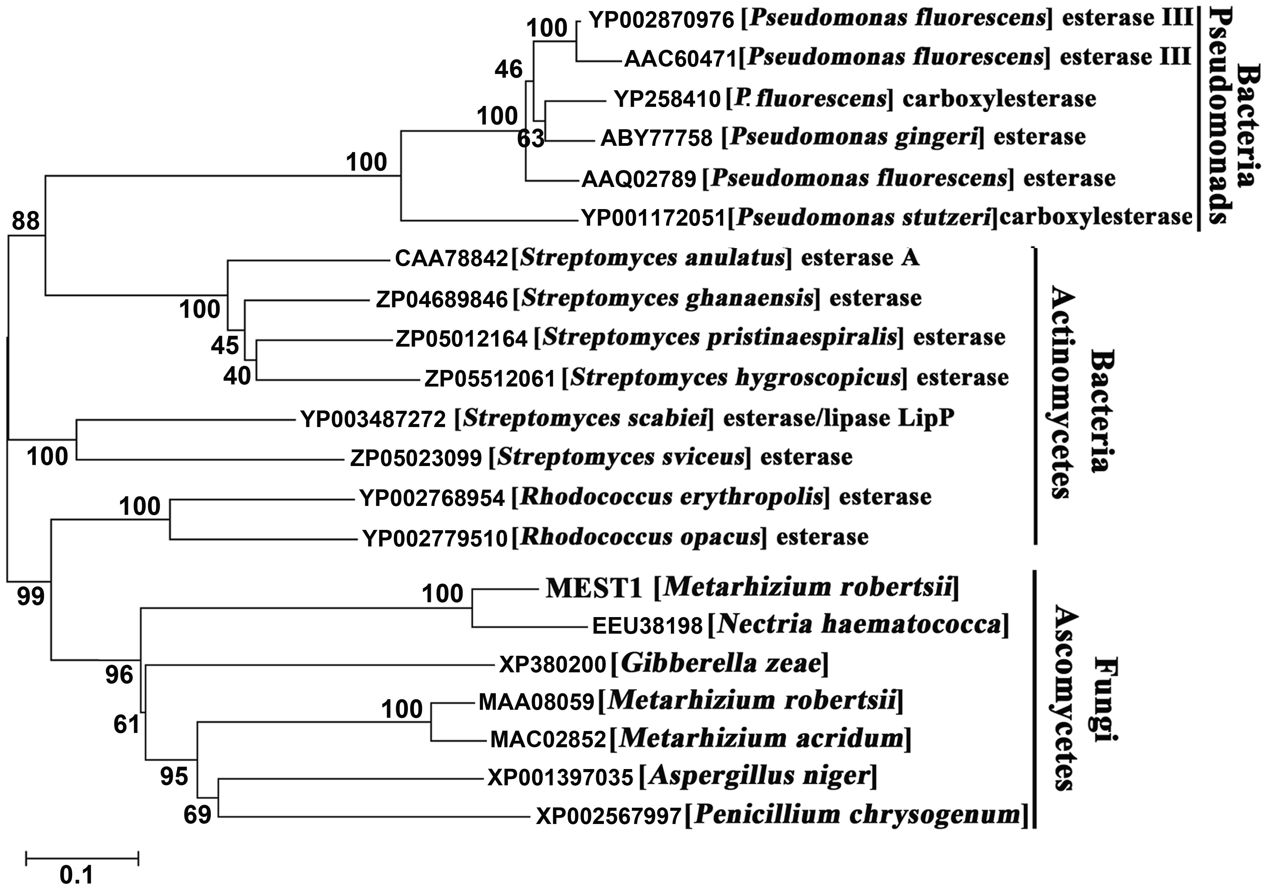 Phylogenetic relationship of MEST1 with its homologs.